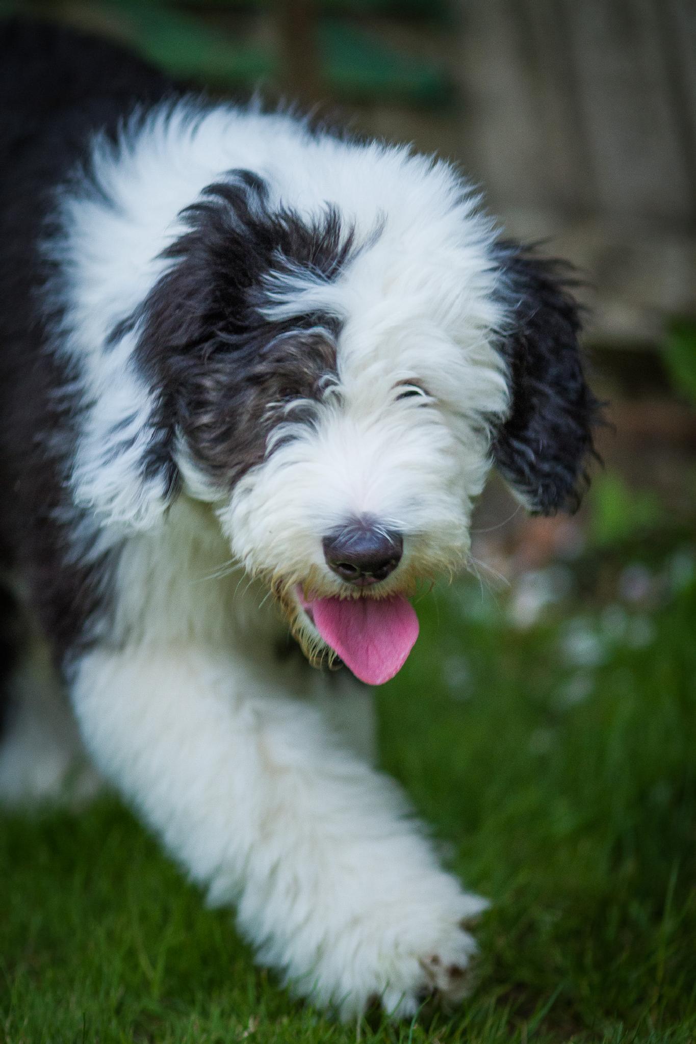 Old English Sheepdog Puppy by Brooks DeCillia