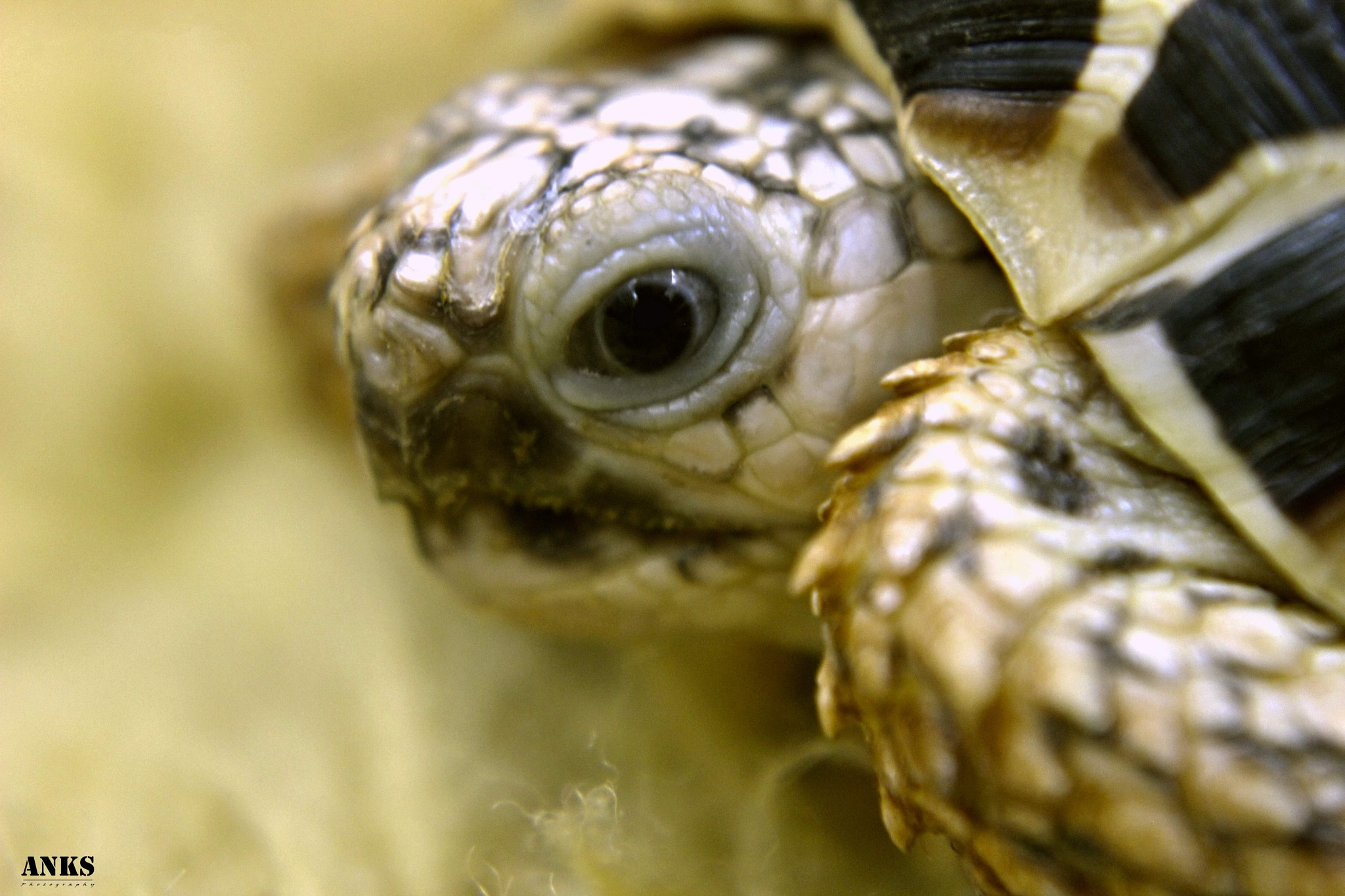Star Tortoise by Anks Photography