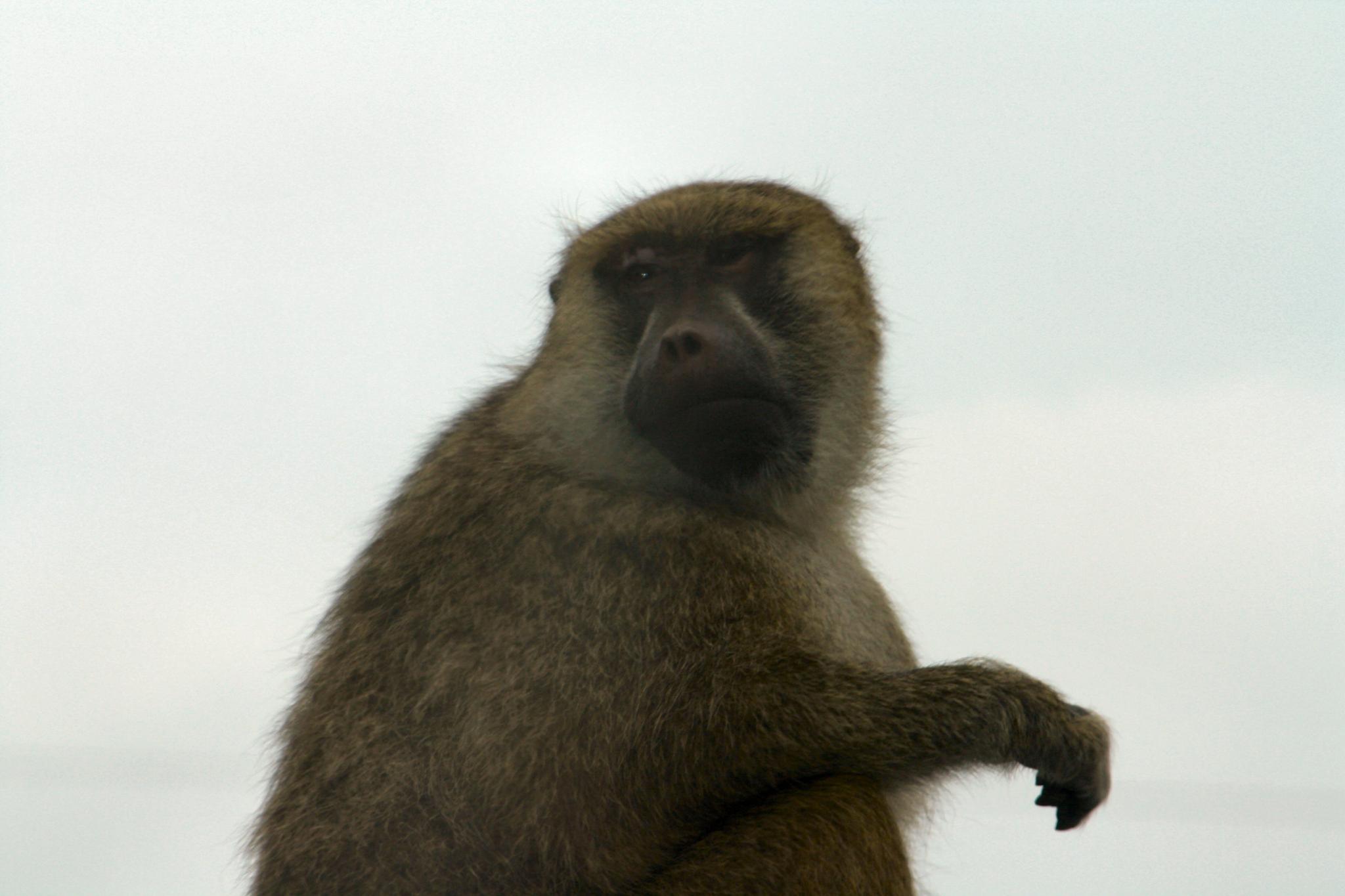 Baboon by lynettebp