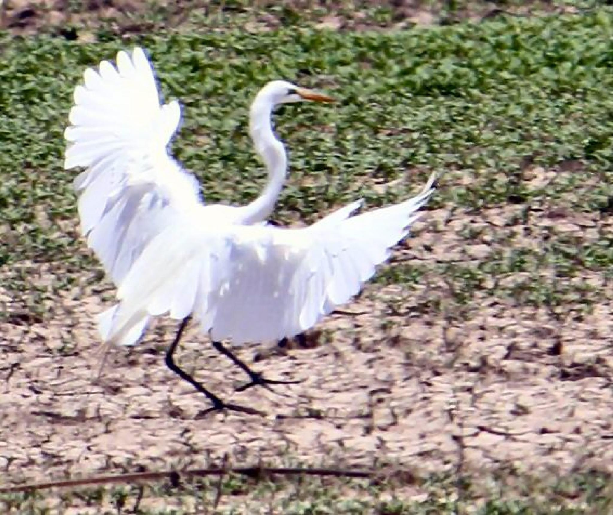 Bosque Egret by lynettebp