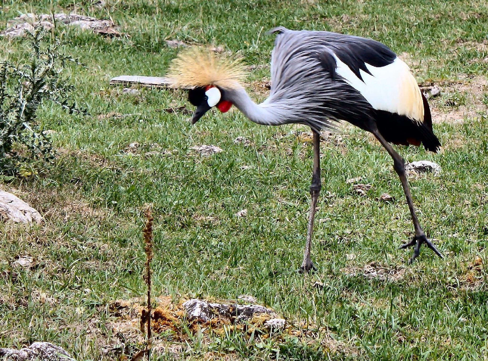 Horned African Crowned Crane by lynettebp