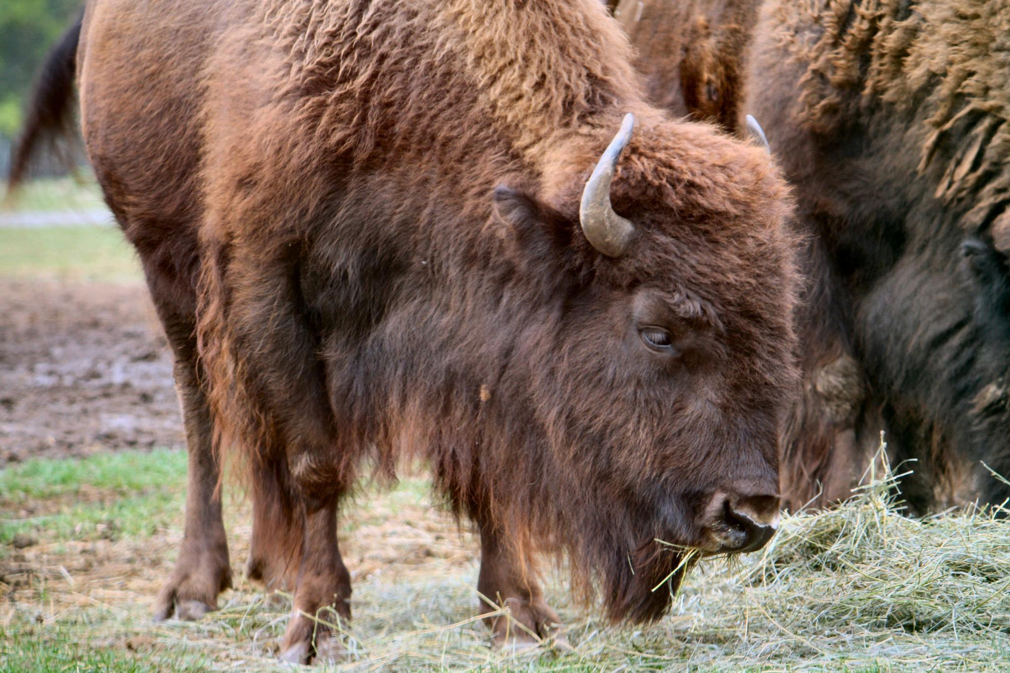 Bison by lynettebp
