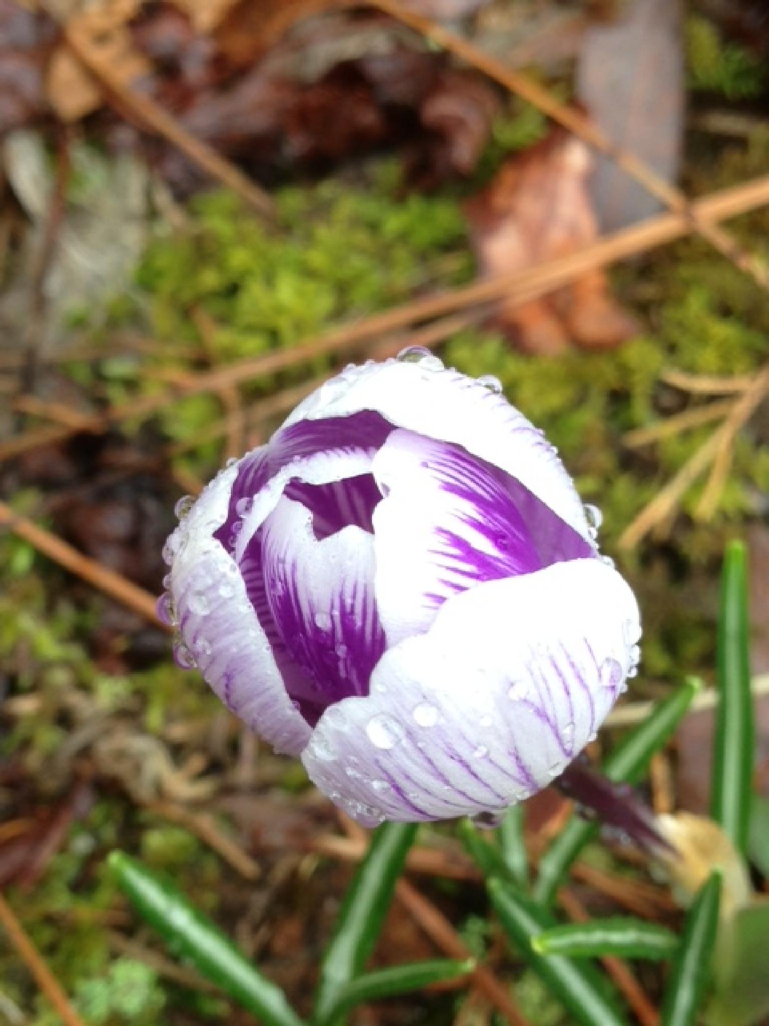 First of spring by Susan Swearengin