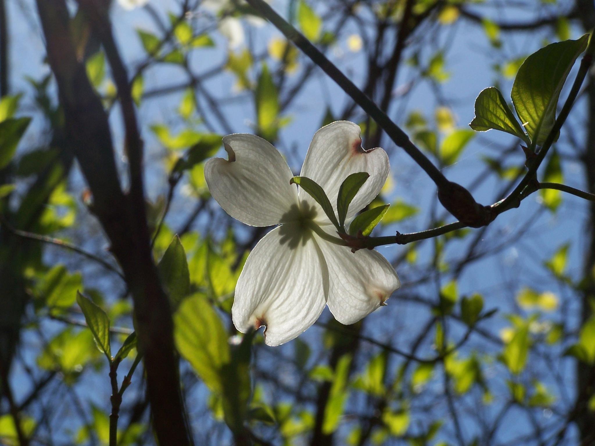 Spring blossom by Susan Swearengin