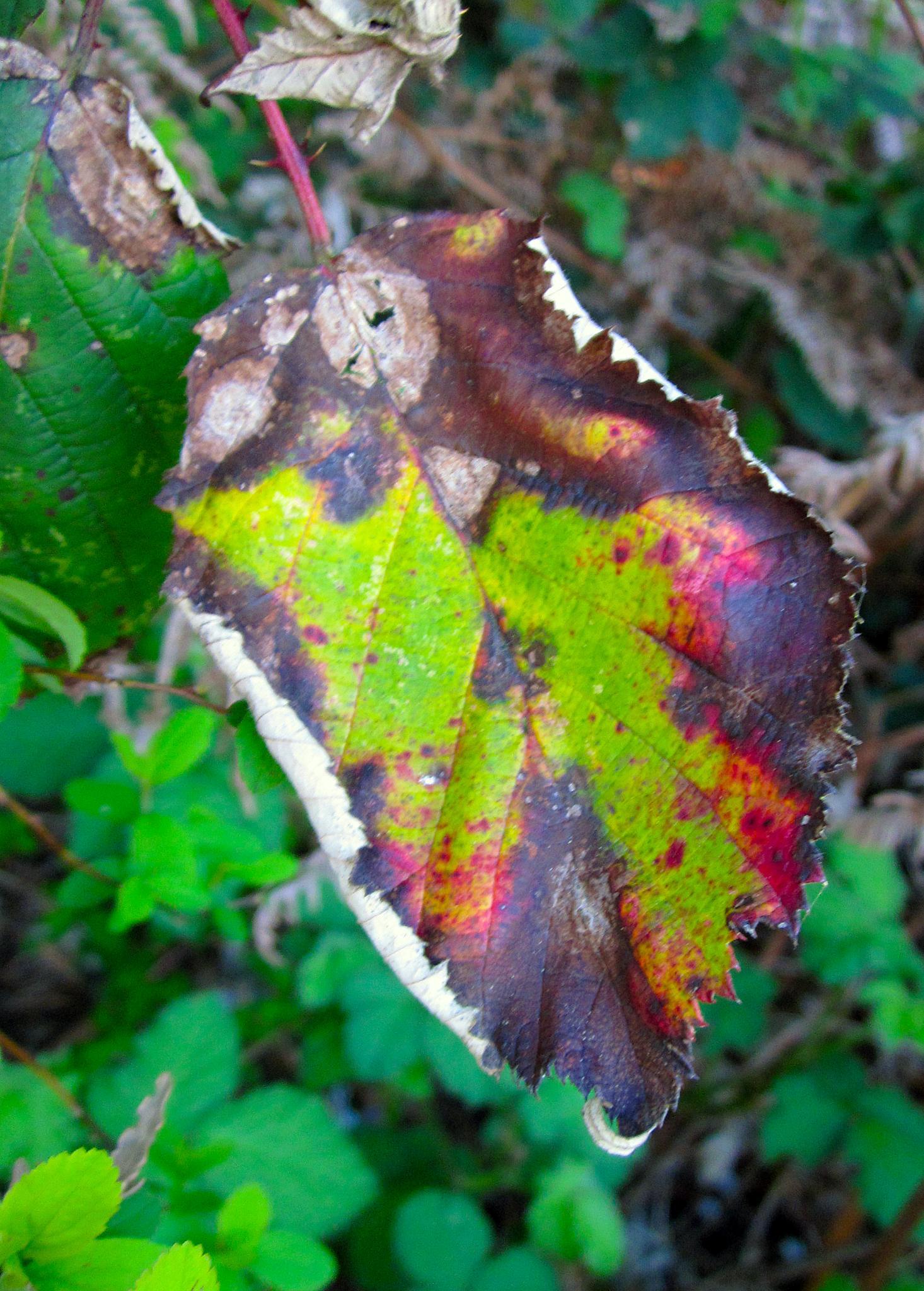 seattle leaf by Matthew Robinson