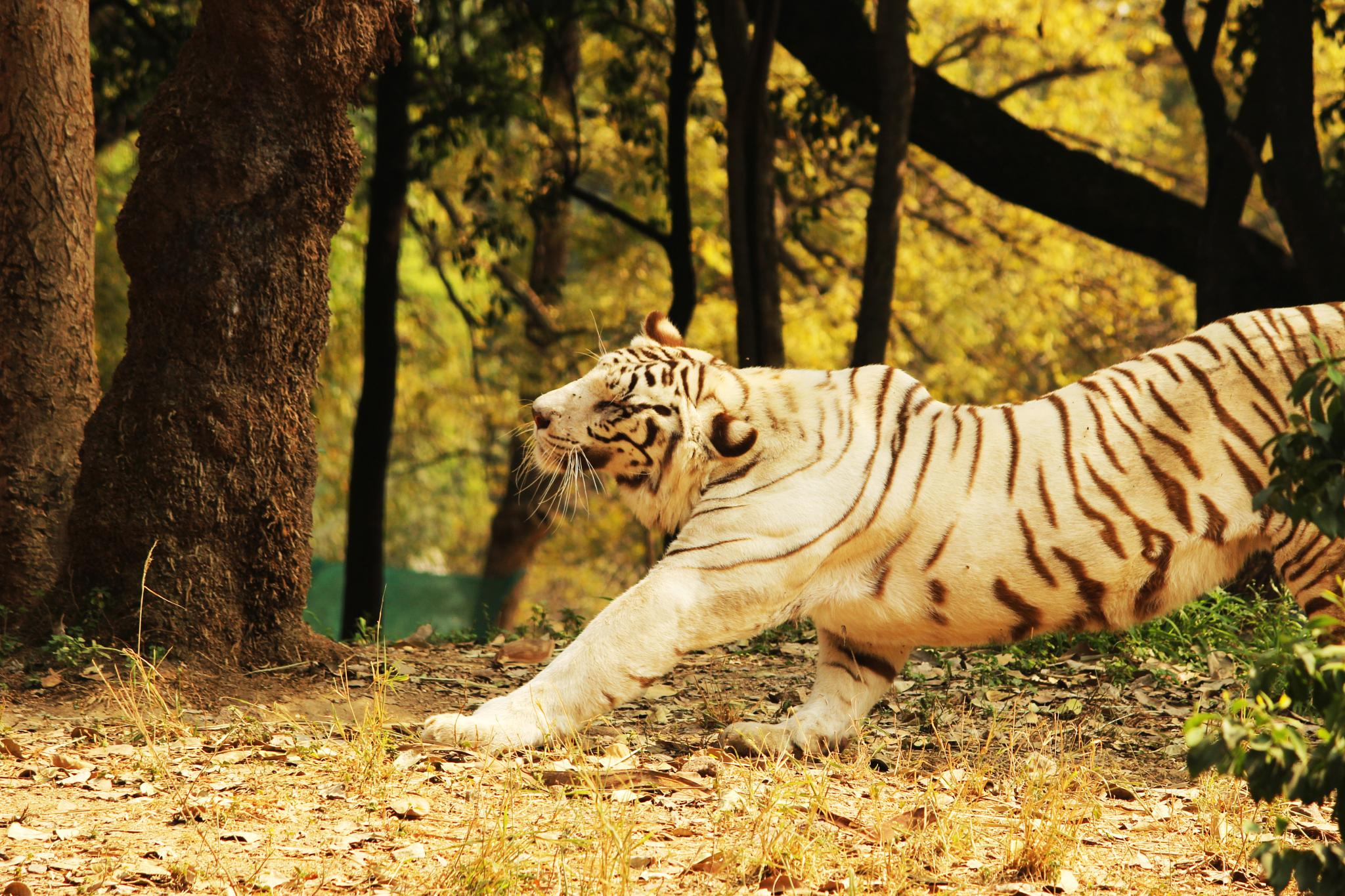 The Bengal White Tiger by Maxwel Samael