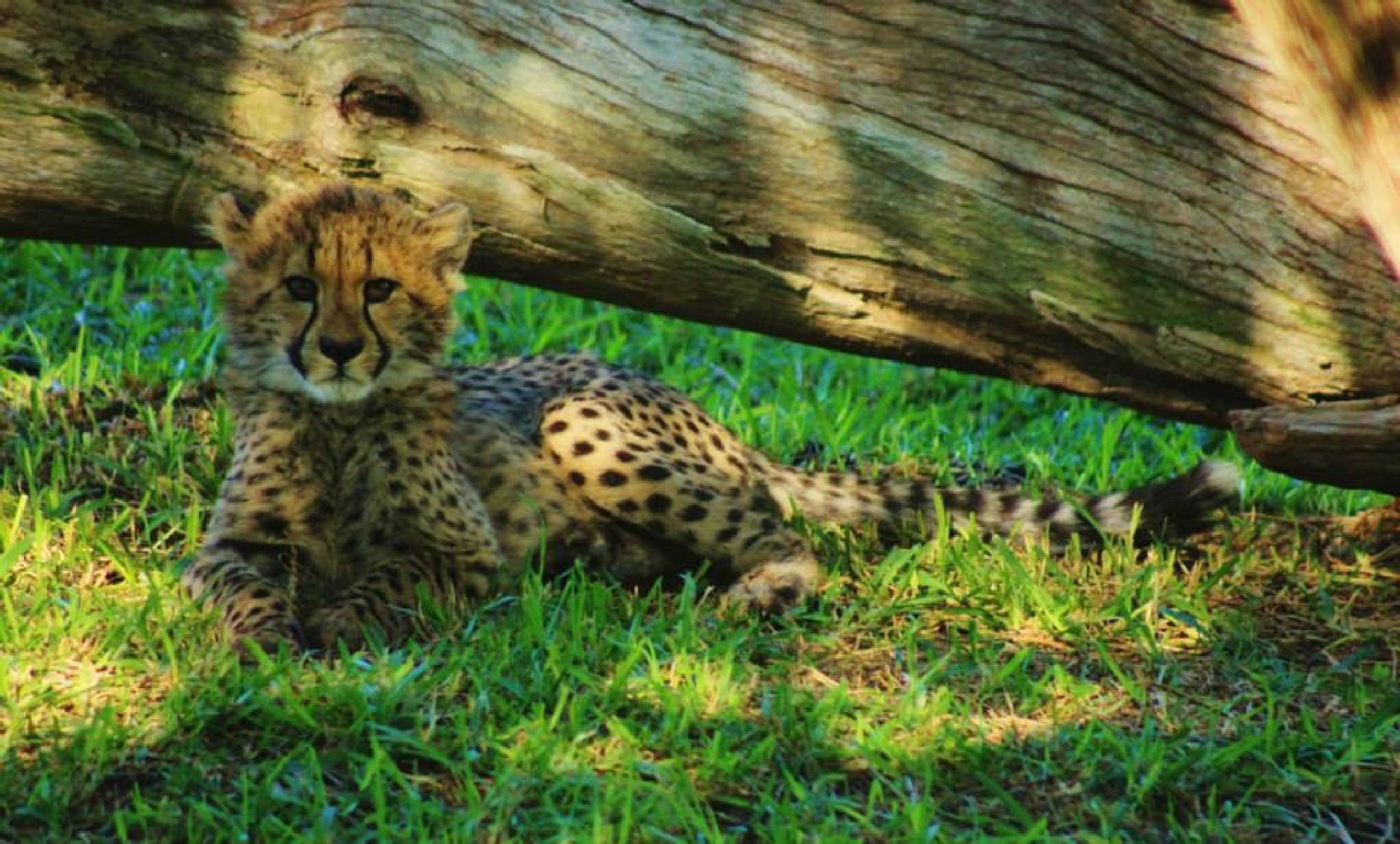 Cheetah cub by michelle.r.tinkham