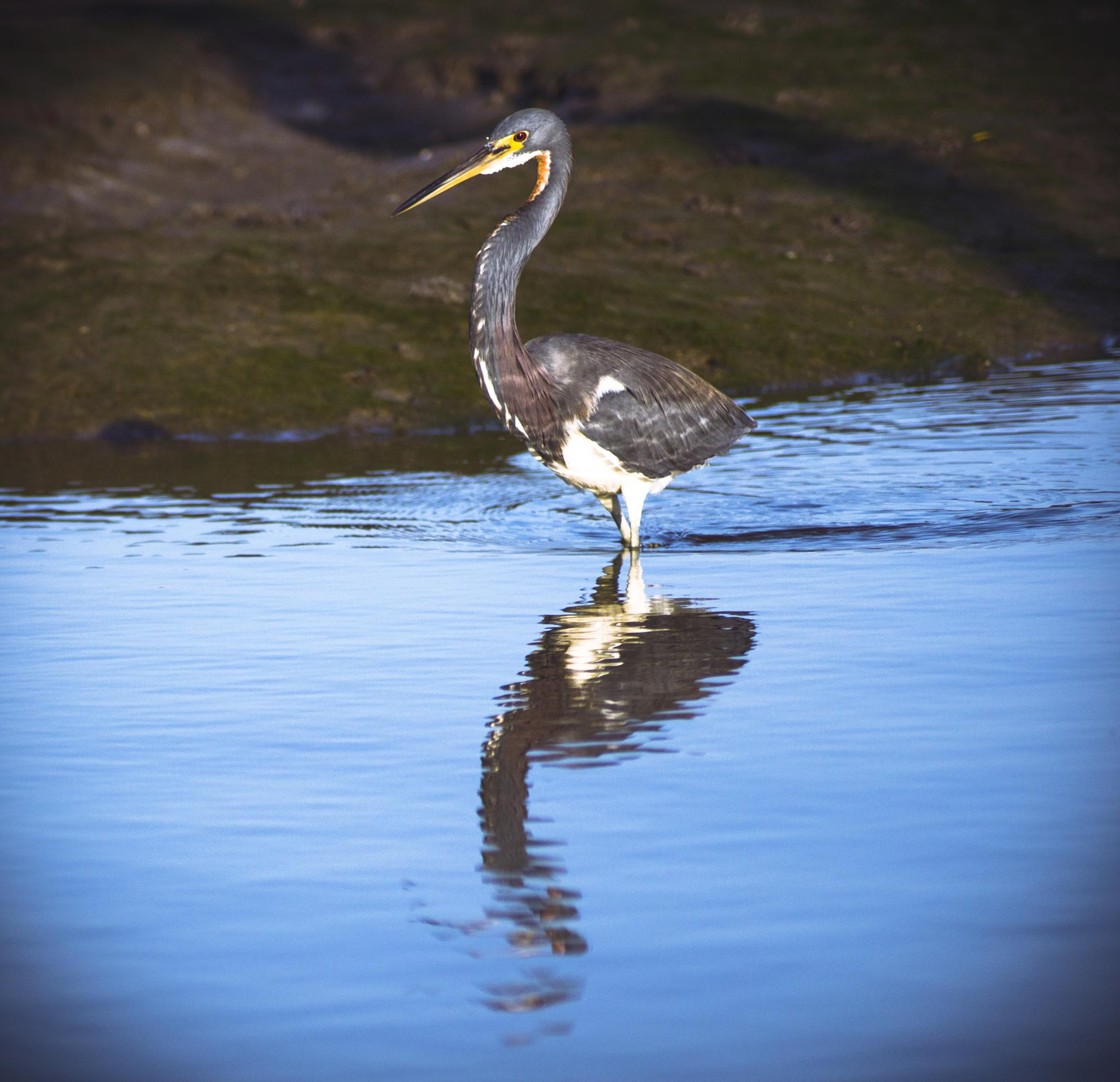 Juvenile Blue Heron by Michael C Frizzell