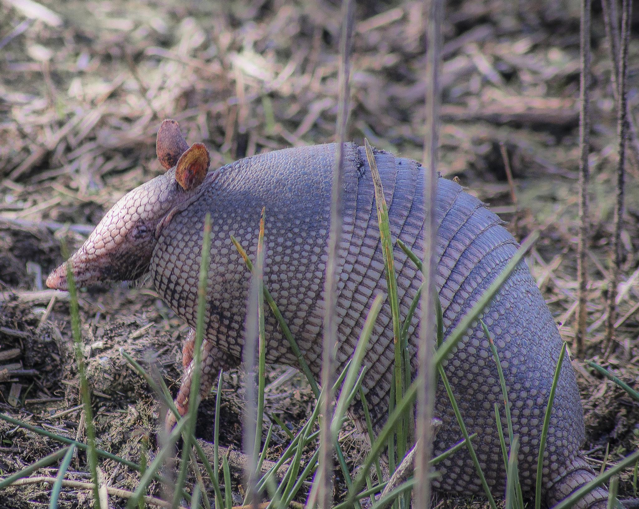 Curious Armadillo by Michael C Frizzell