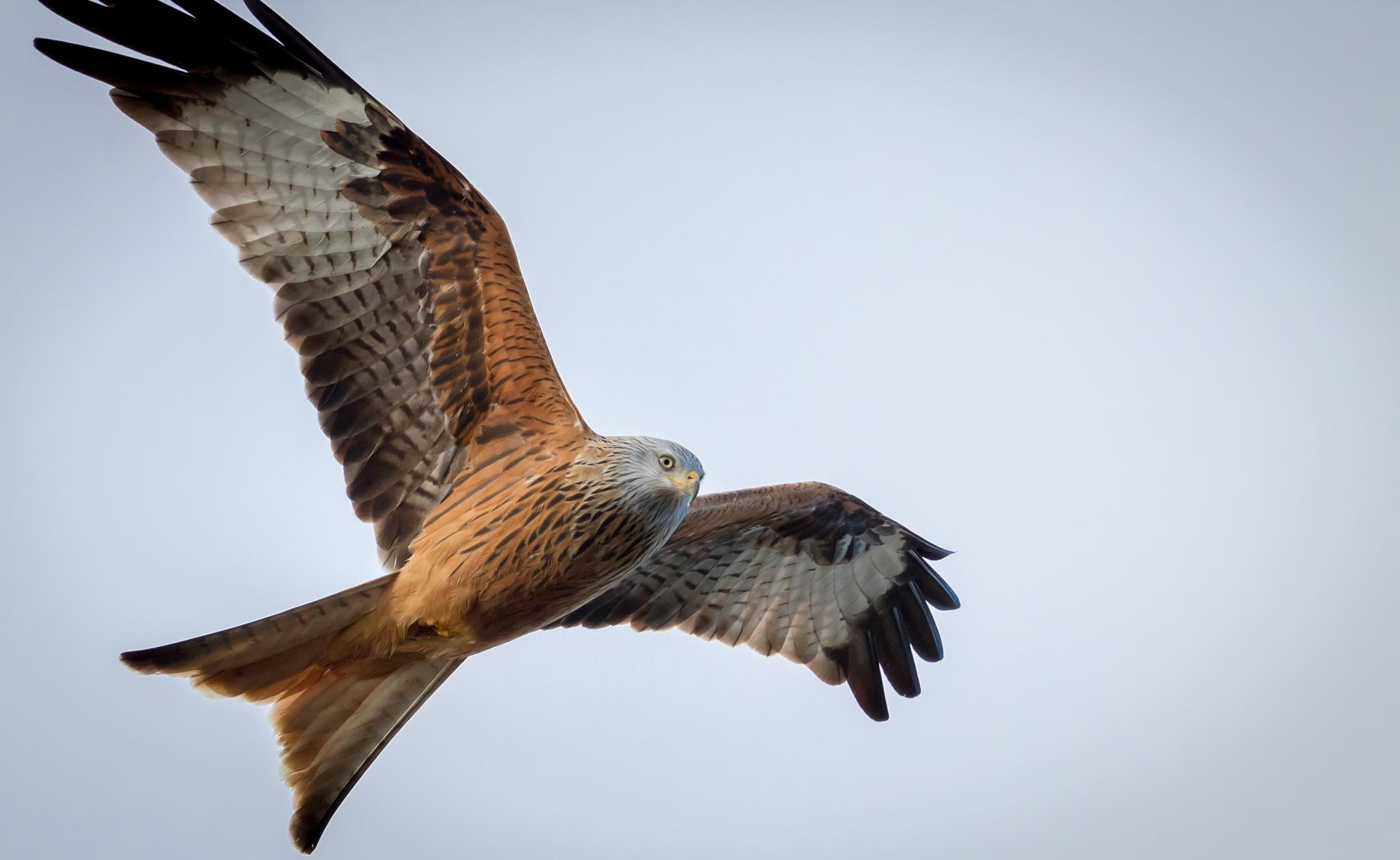 Red Kite by Patrick Galka