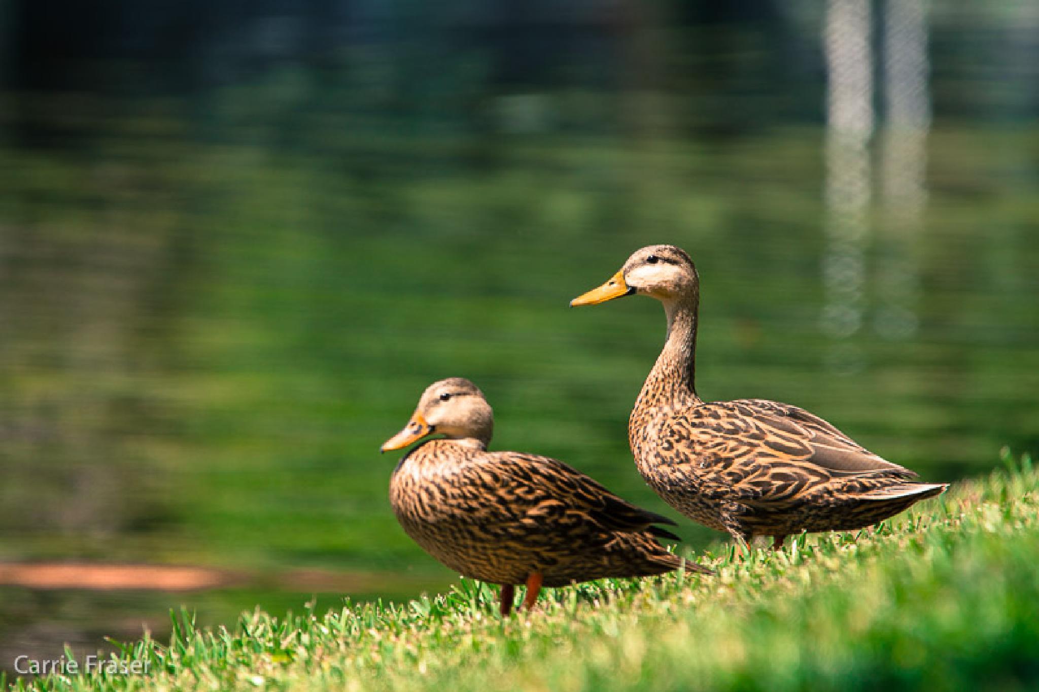 Mottled Duck by Carrie Fraser