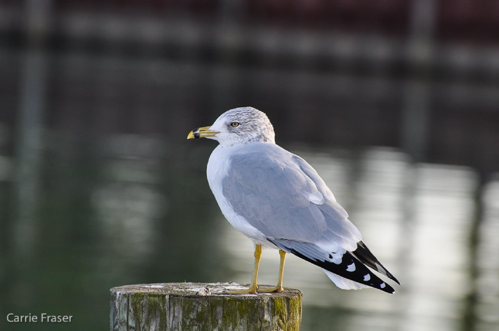Ring Billed Gull by Carrie Fraser