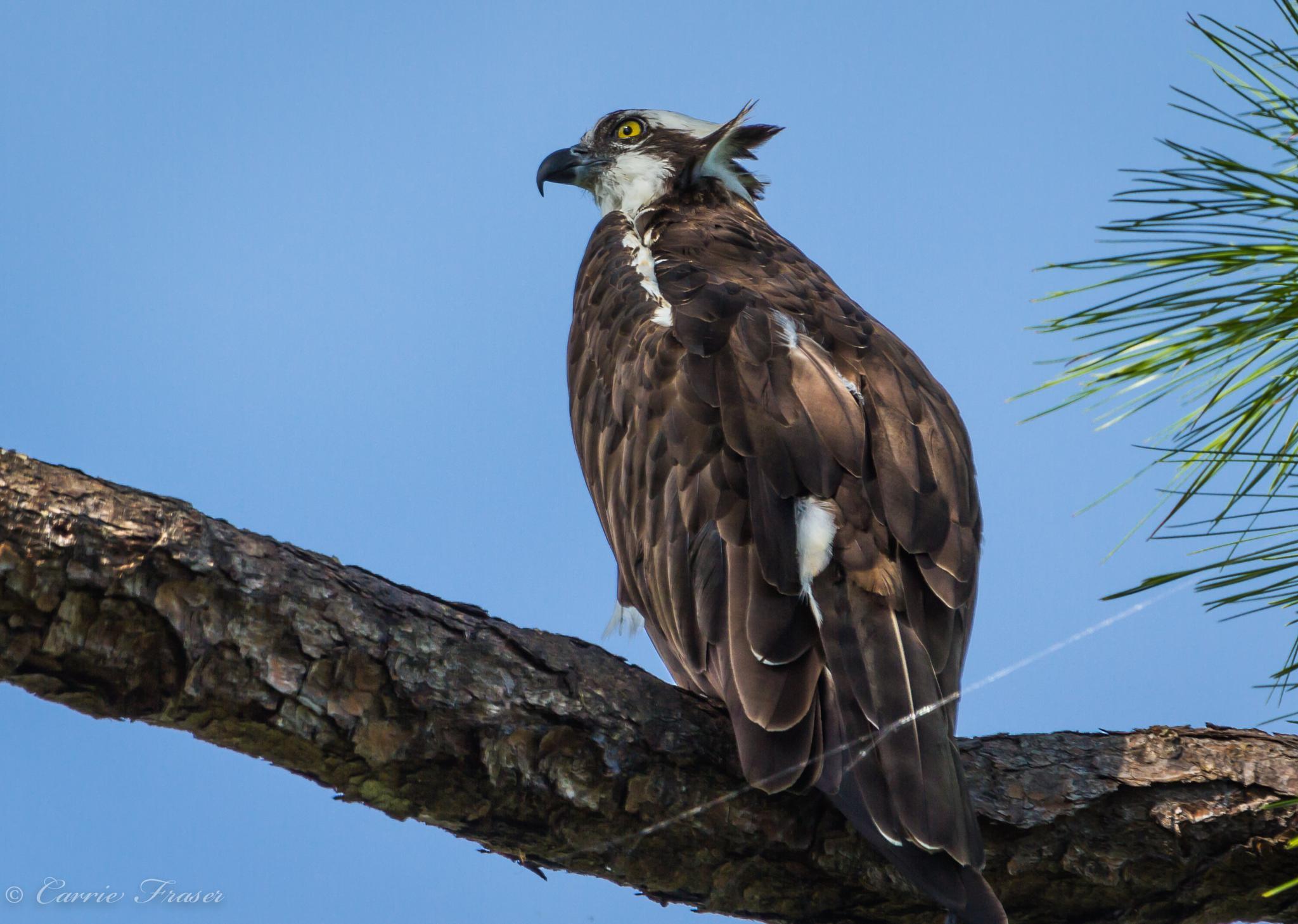 Osprey by Carrie Fraser
