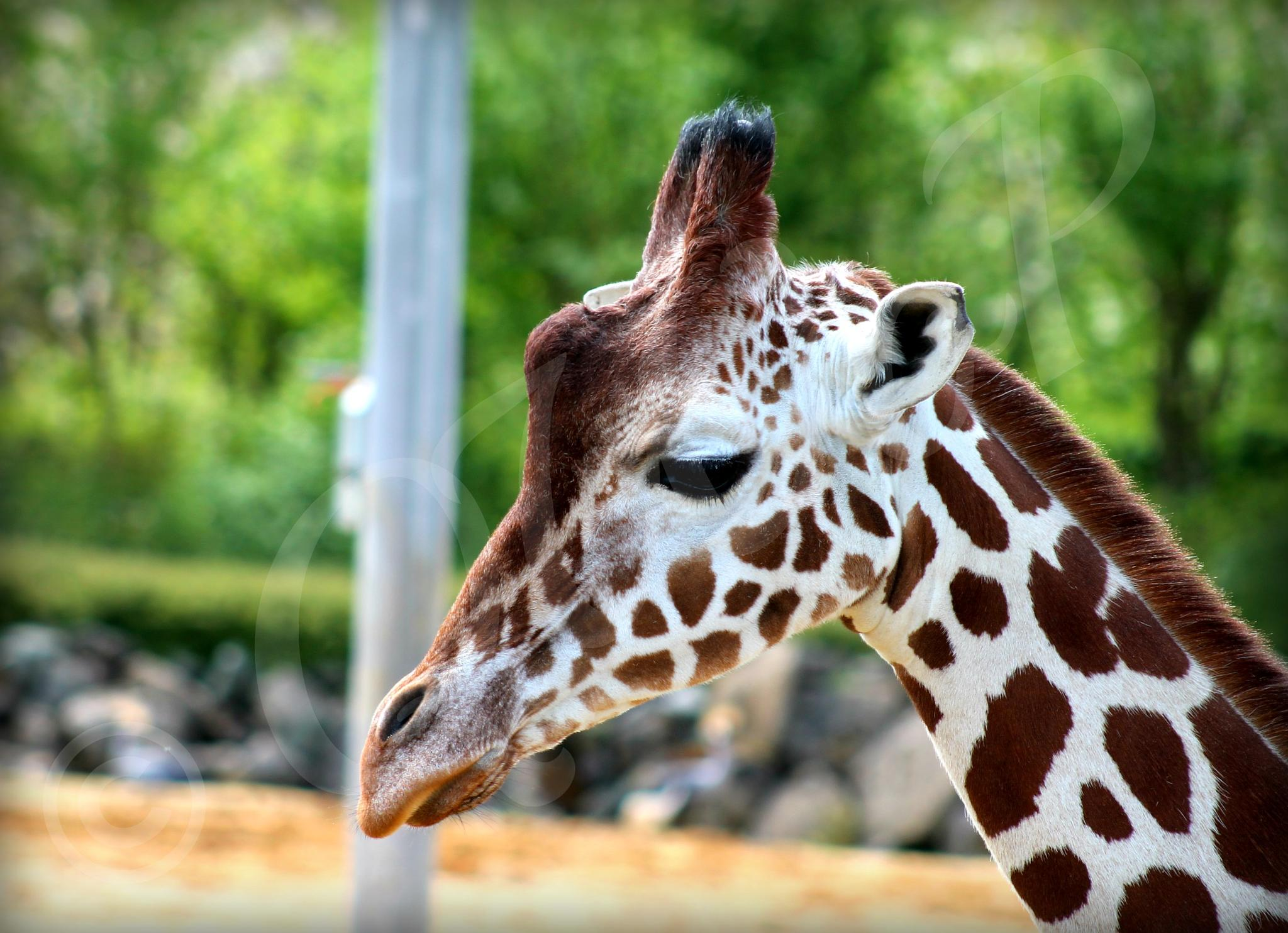 Giraffe by Casey-Jaie Thomas