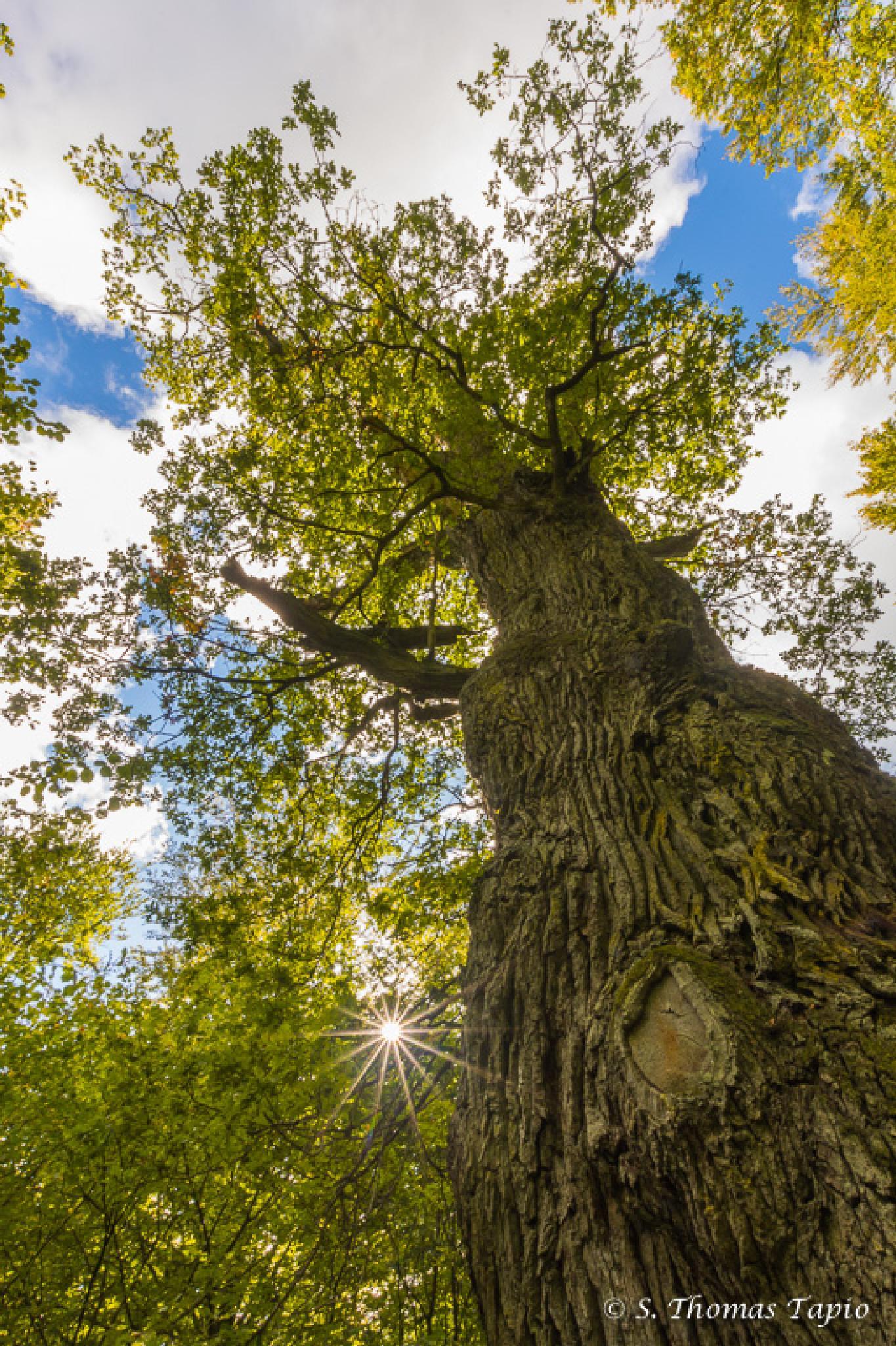 Wants old oak tree by Thomas Tapio