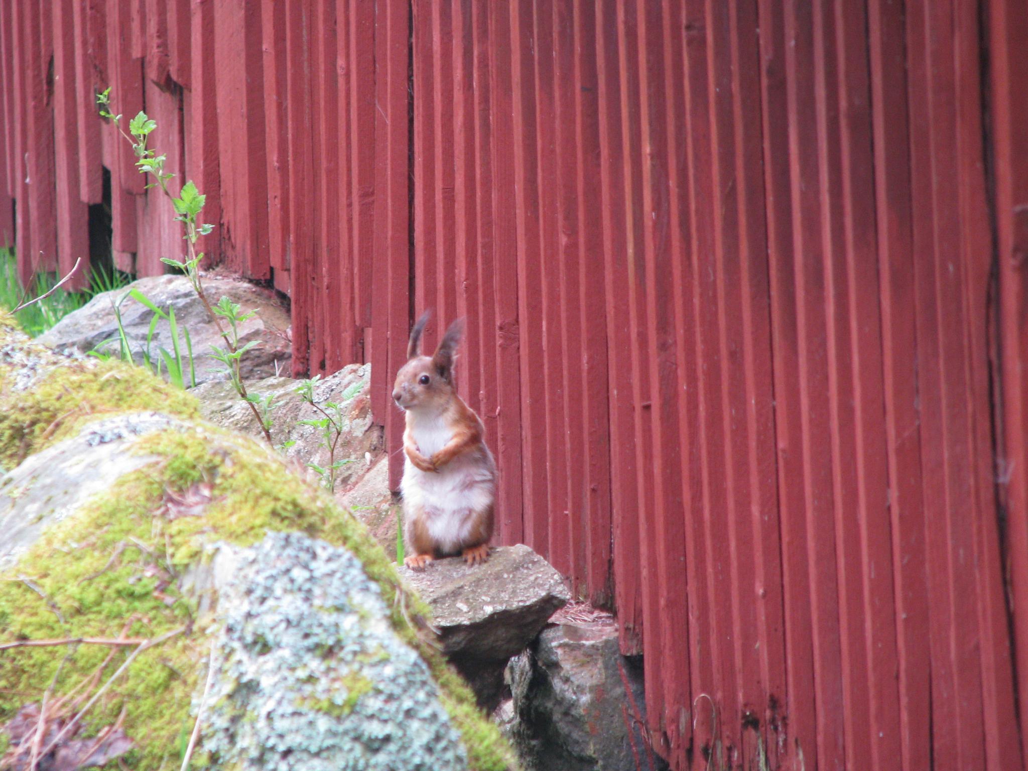 squirrel by arto.niemisto