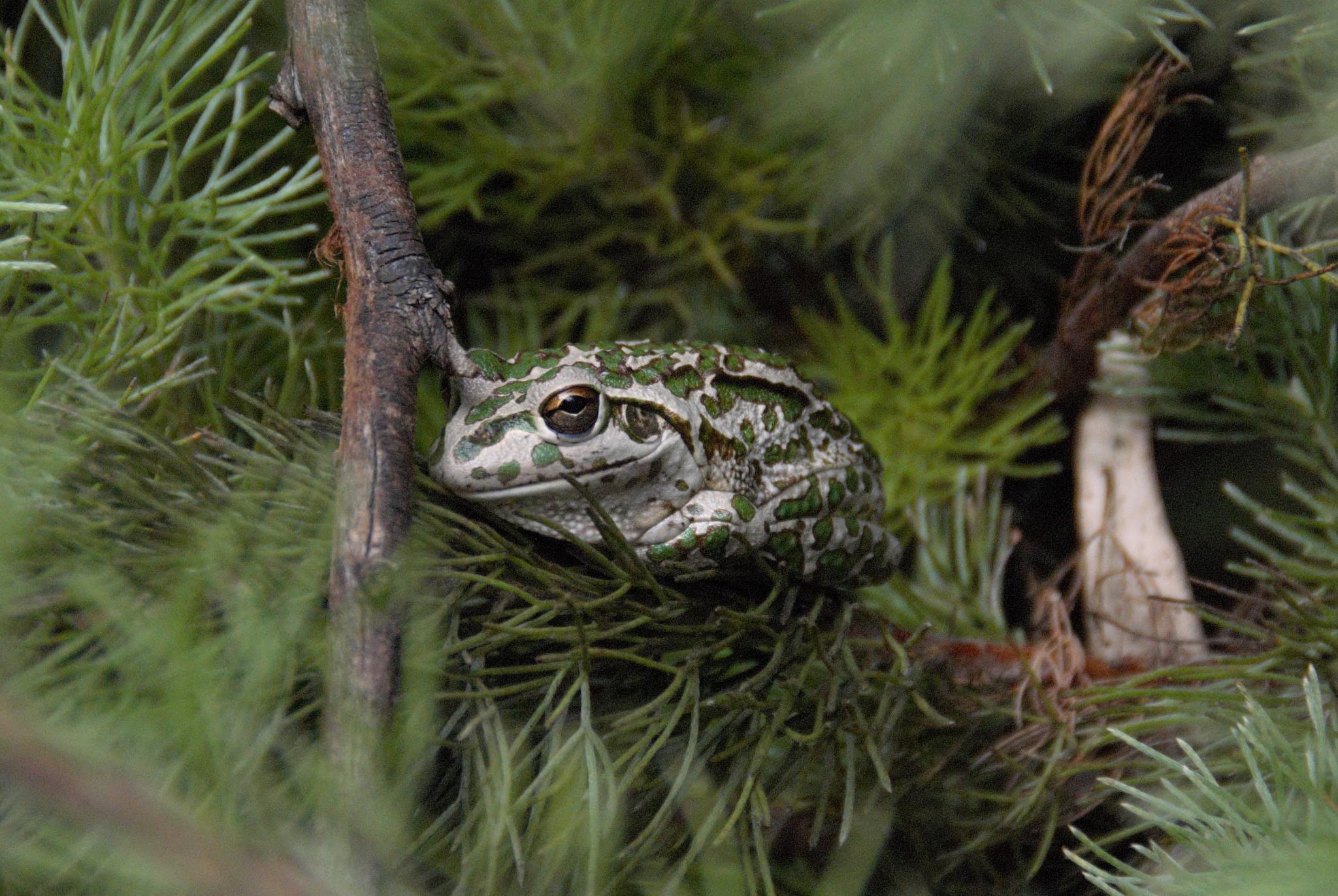 Mr Frog by Zoid359WA