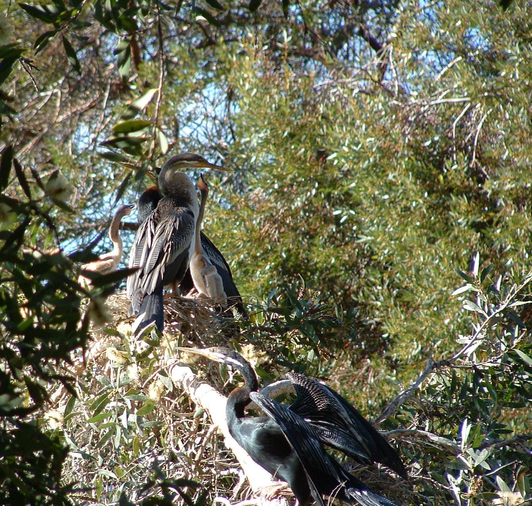 Australian Darter Family by Zoid359WA