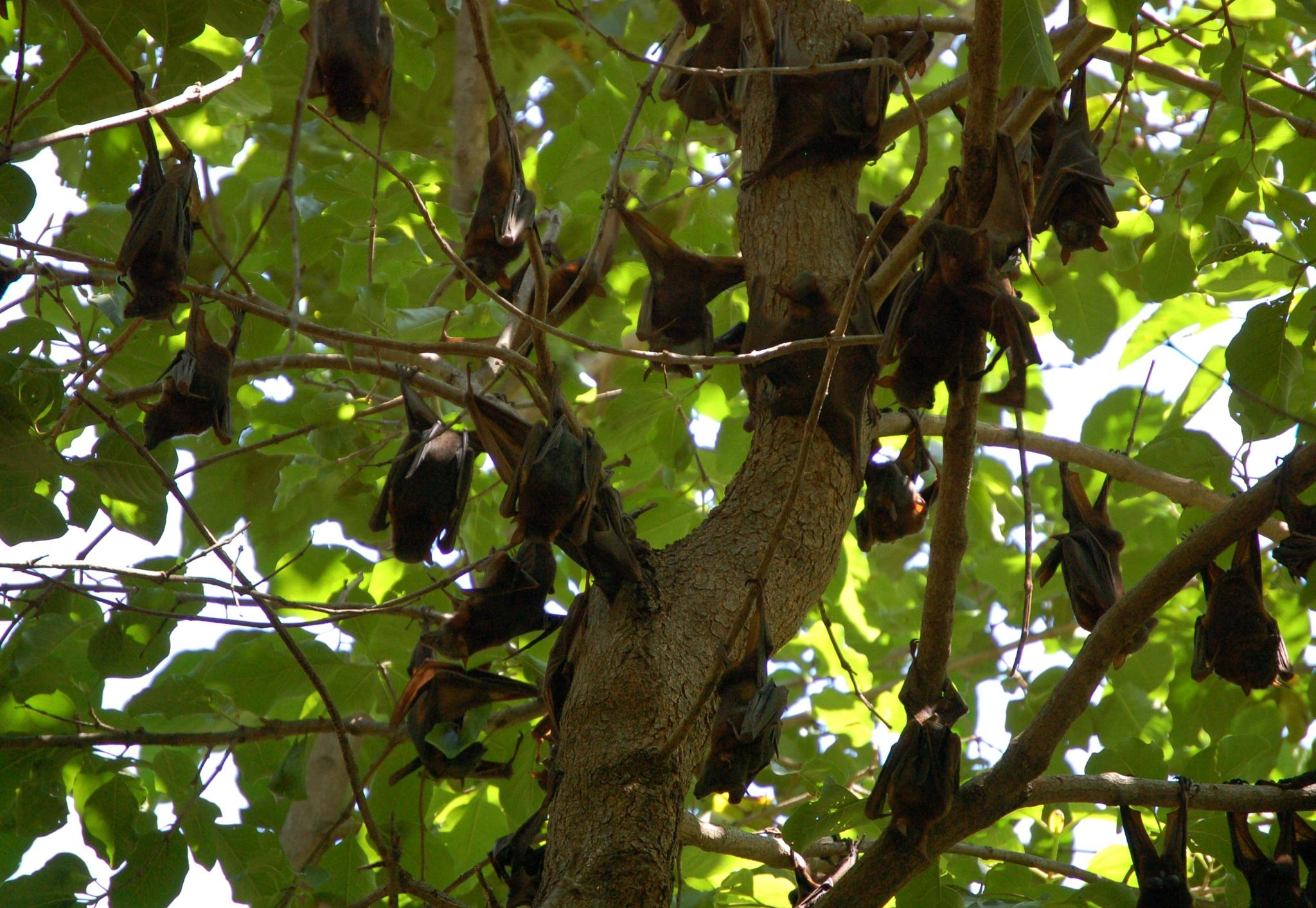 Fruit Bats at Kununurra, Western Australia by Zoid359WA