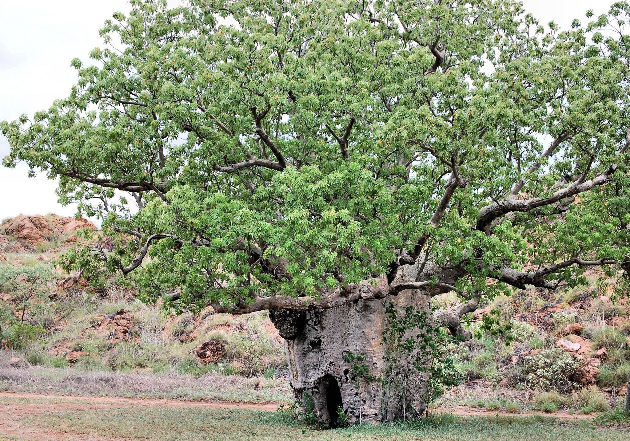 Boab Tree by Zoid359WA