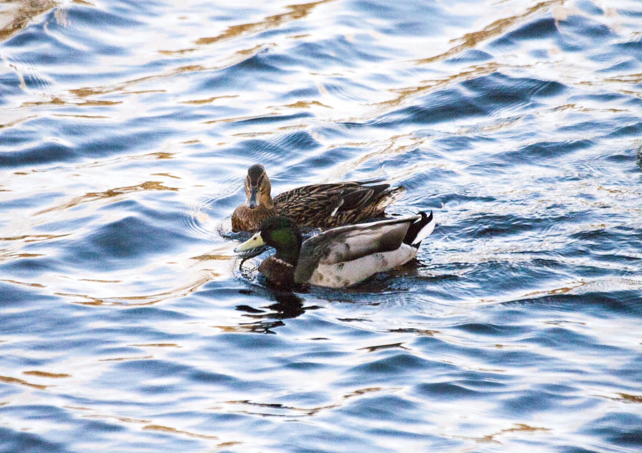 Ducks on the water... by Robbie Clark Photographics