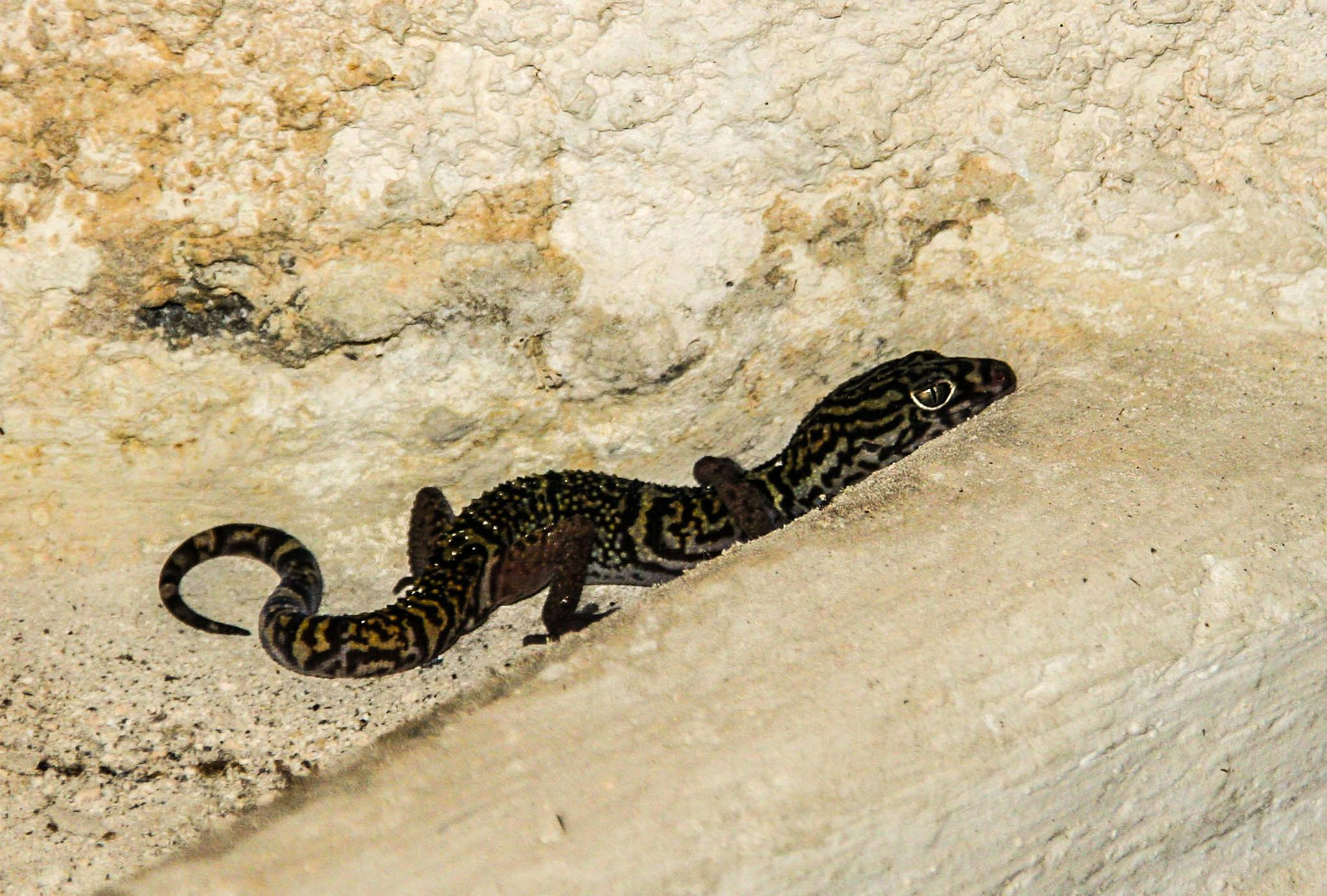 Mexican lizard by fotografdenise
