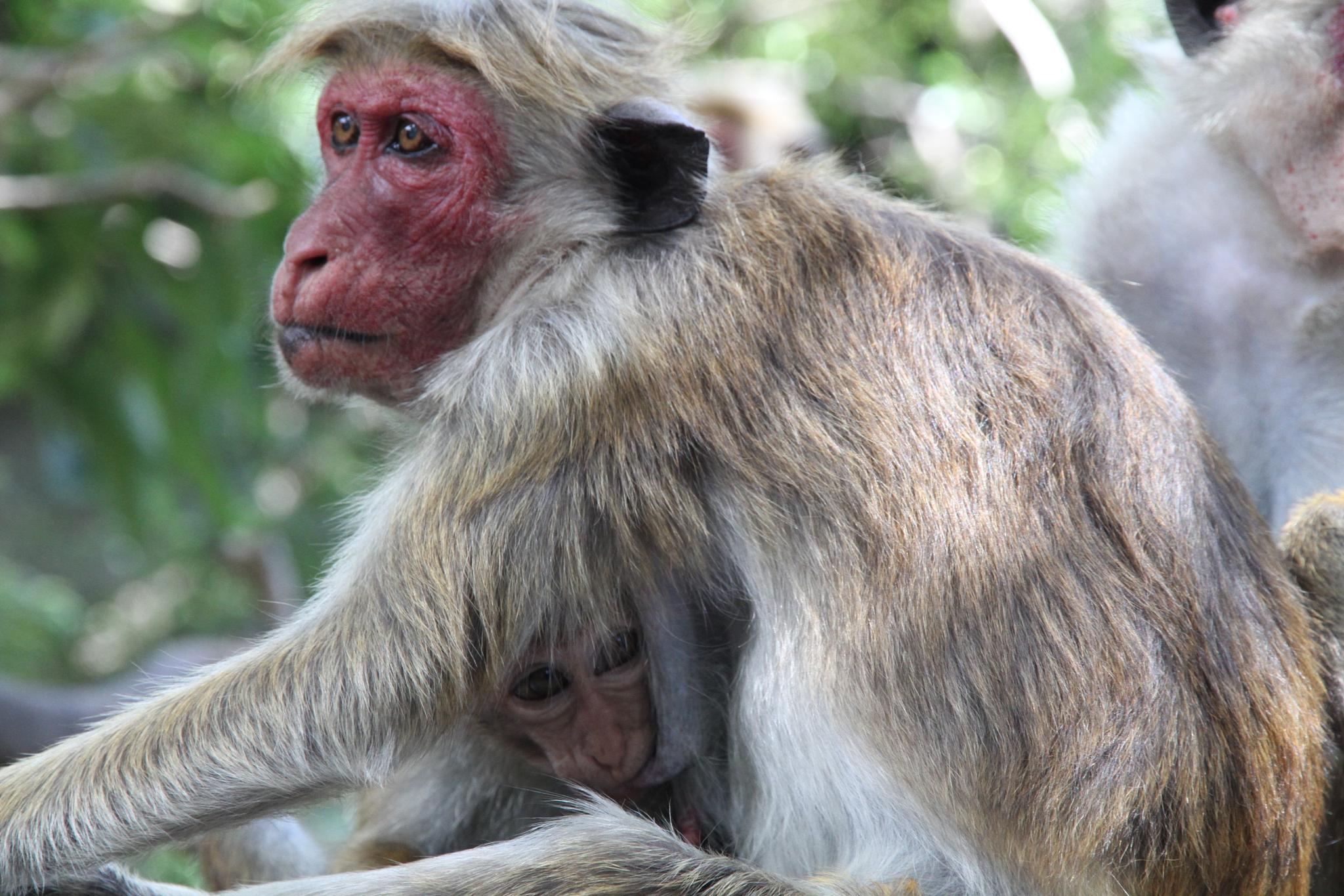 Toque macaque by Peyman Zehtab-Fard