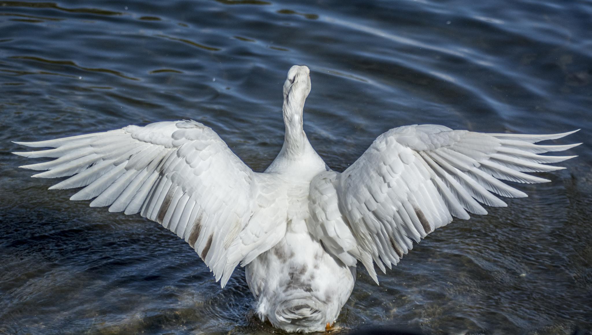 Angel Goose  by ILoveThatPhoto.co.uk