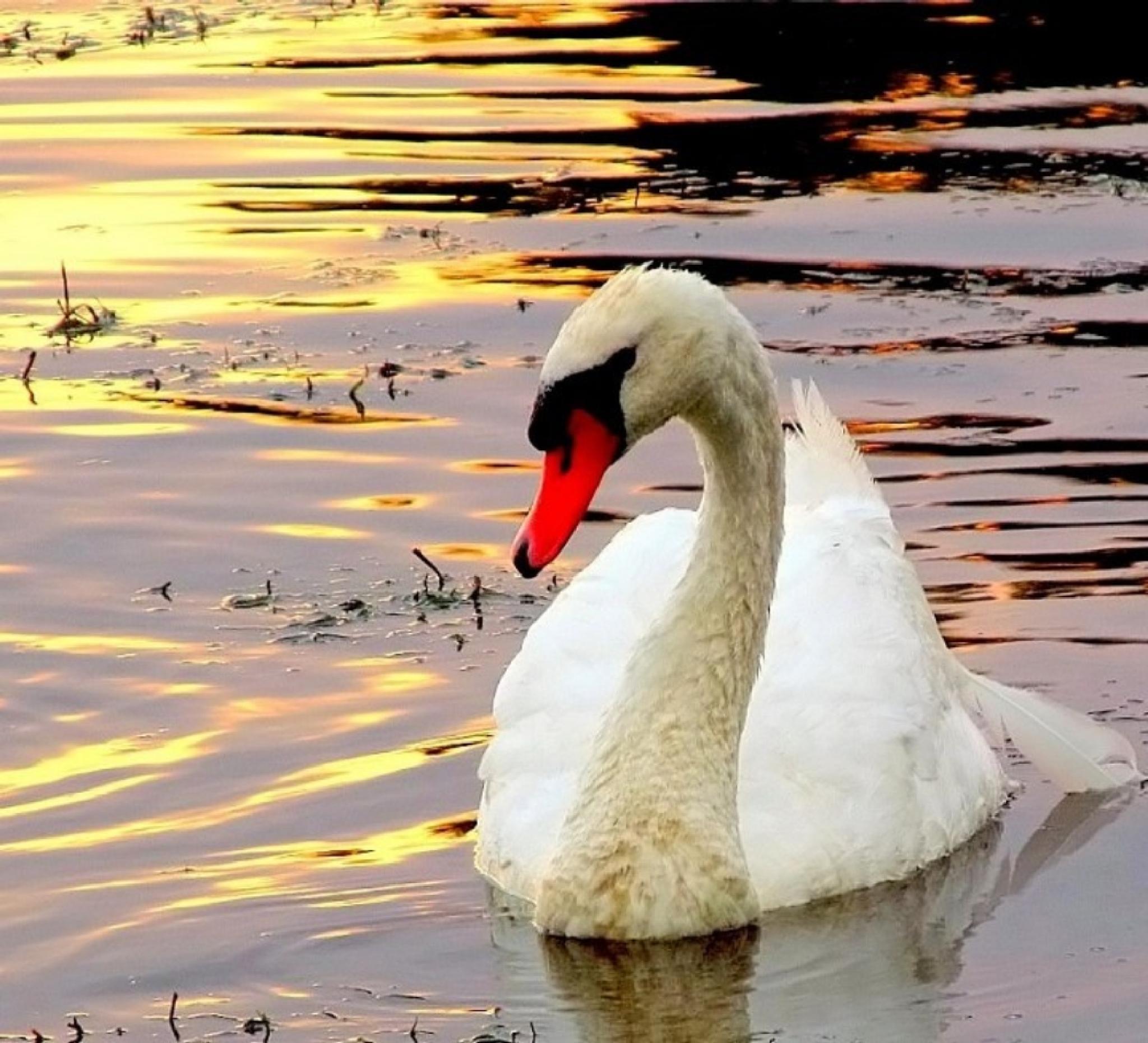 swan by JudyKolka