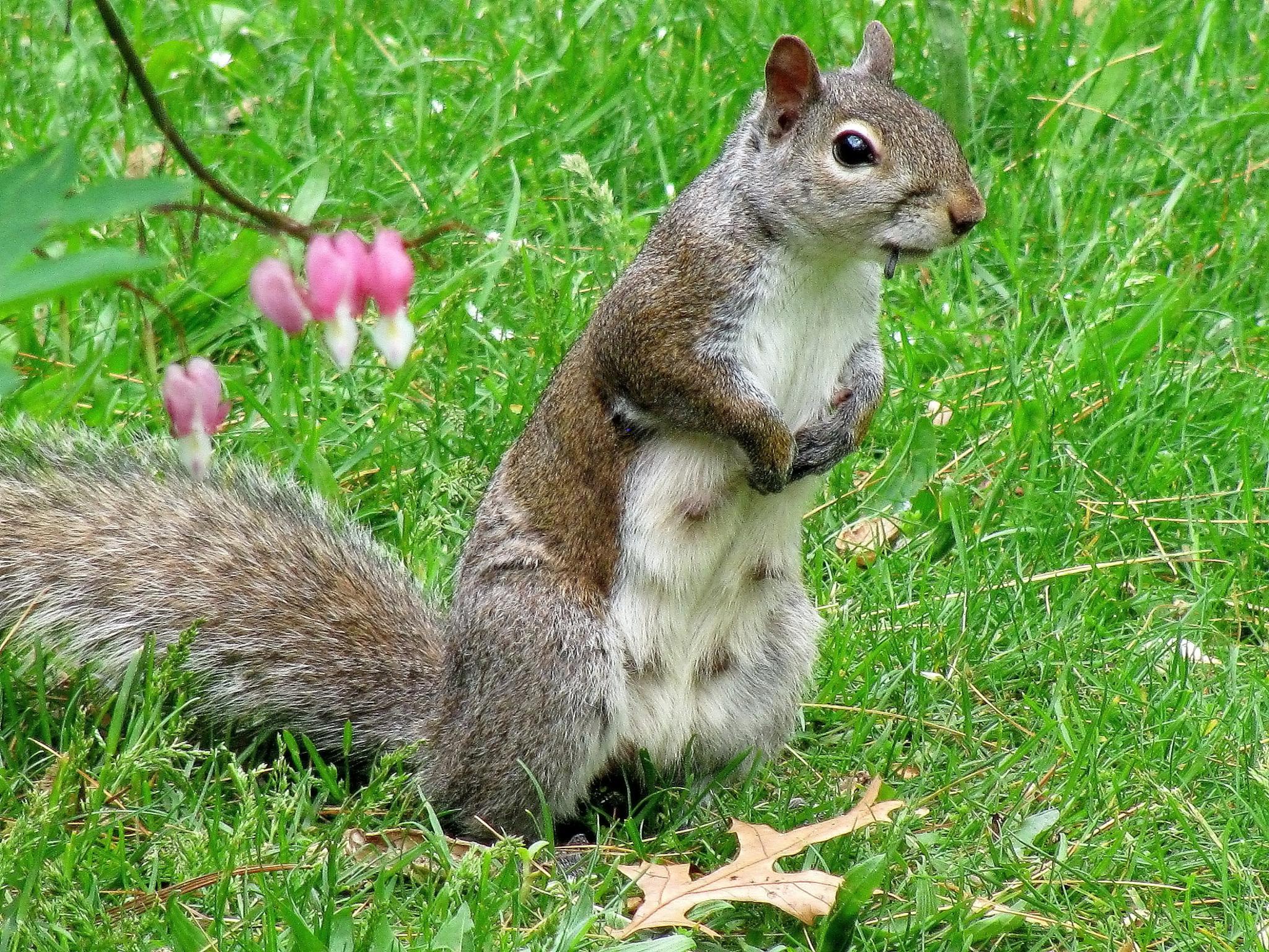 squirrel by JudyKolka