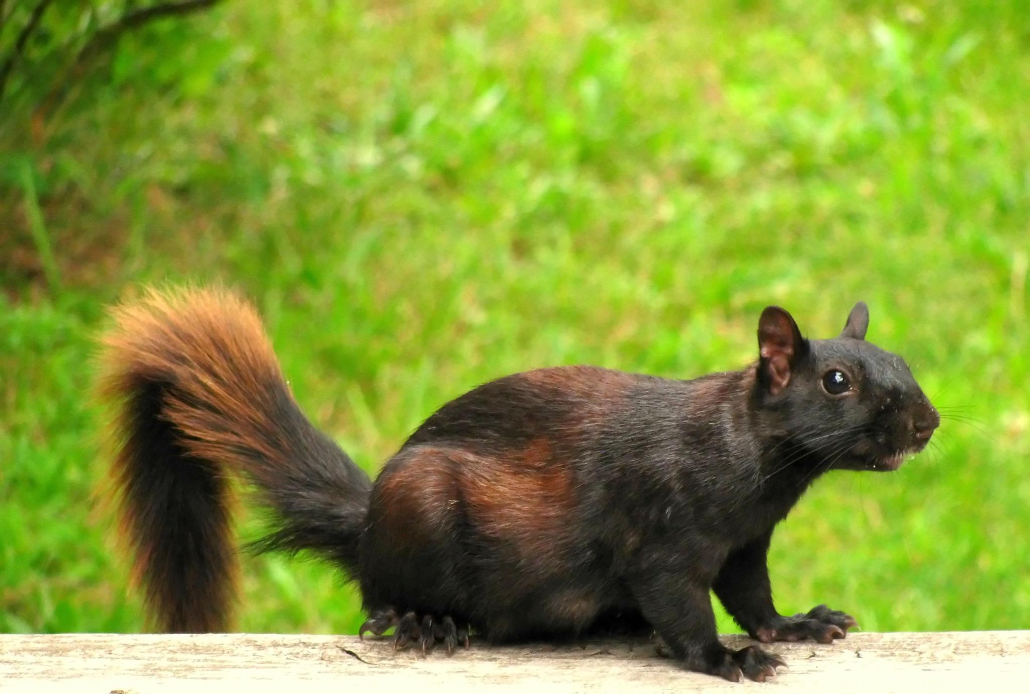 black squirrel by JudyKolka