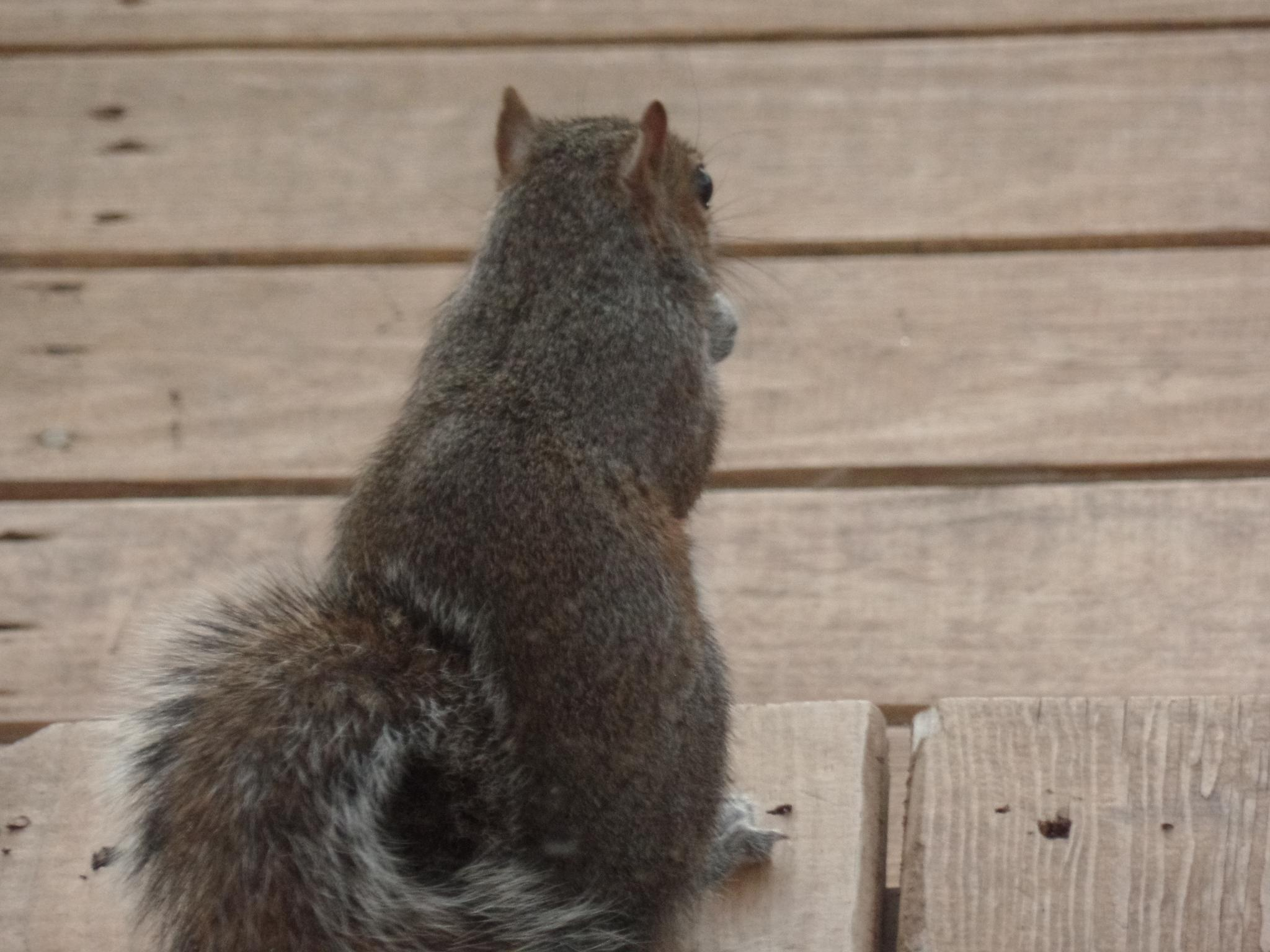 Squirrel on the porch by melinda