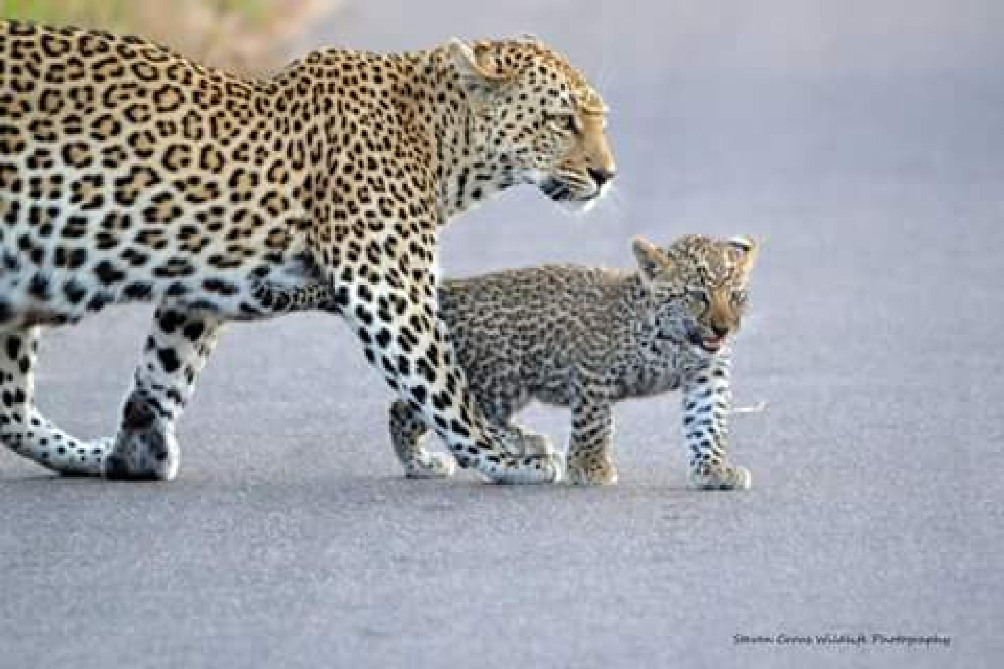 leopard female with cub by hendrik.crous