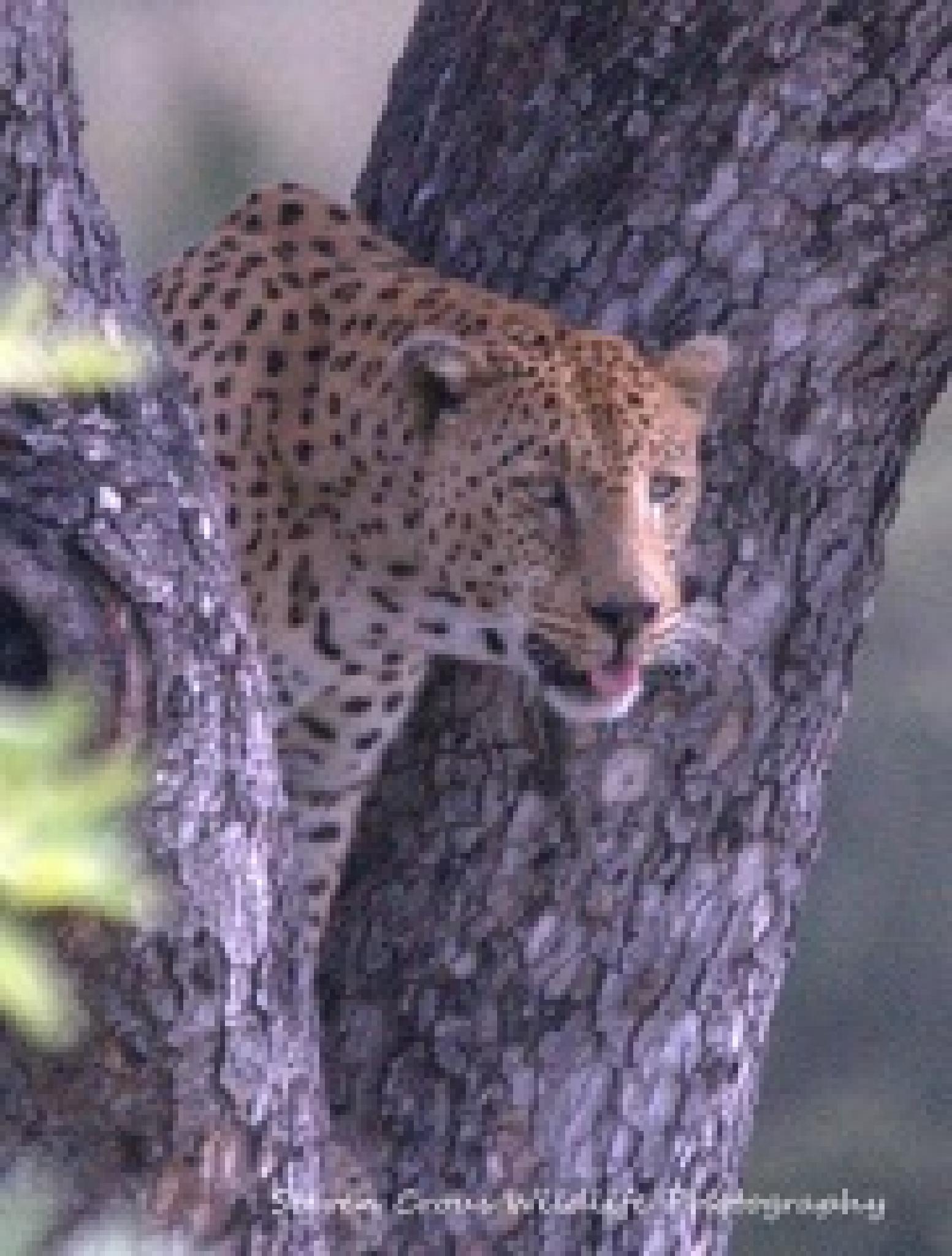 male leopard by hendrik.crous