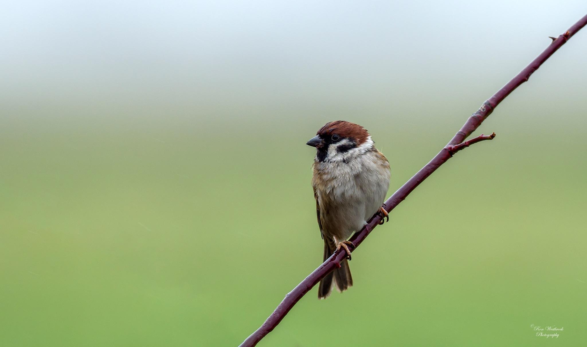 Tree Sparrow by Ron Westbroek