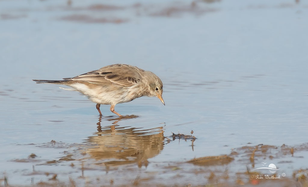 Water Pipit by Ron Westbroek