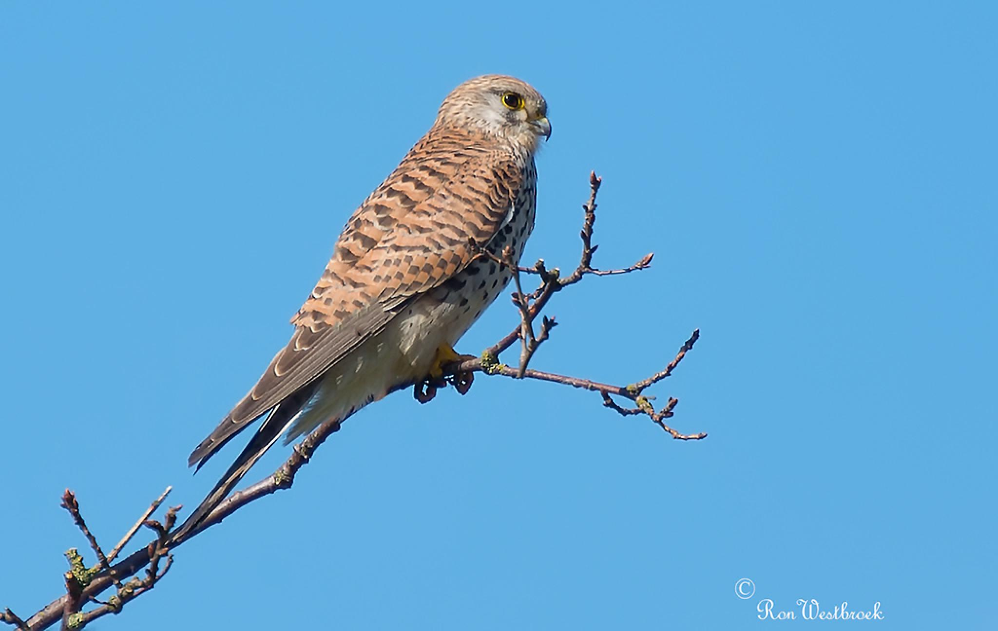 Kestrel, Falco tinnunculus by Ron Westbroek