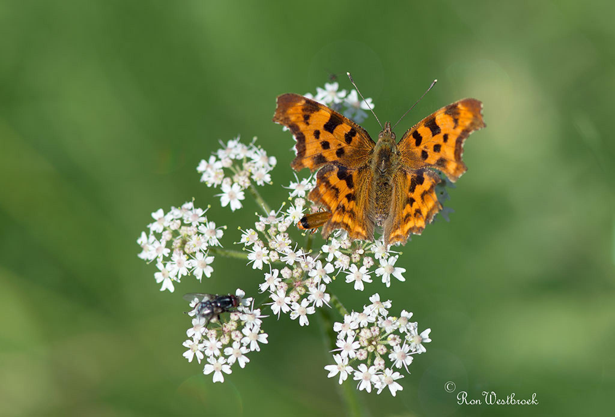 Comma Butterfly by Ron Westbroek