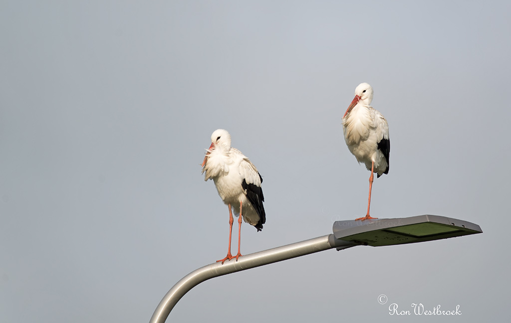 White Stork by Ron Westbroek