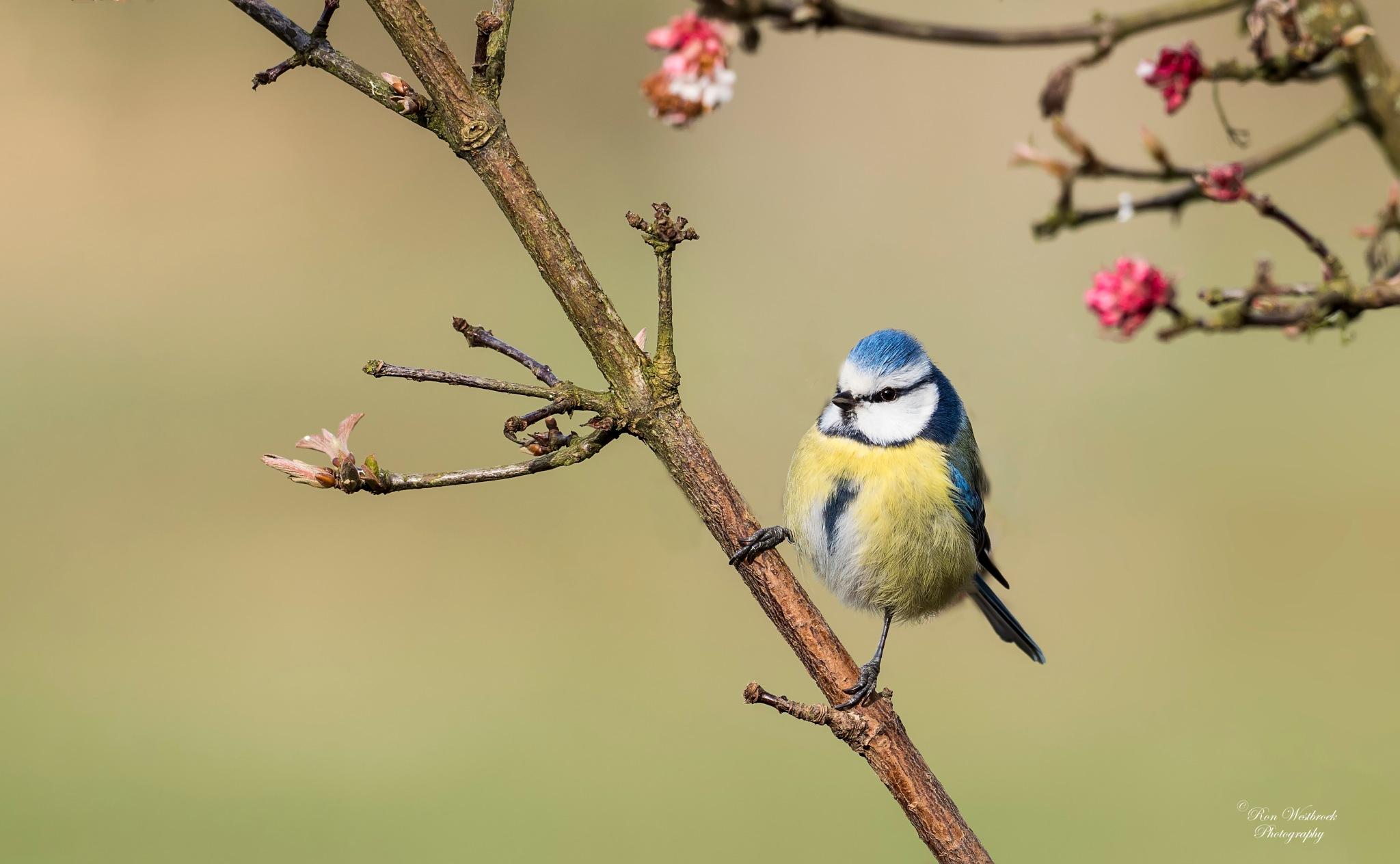 Blue tit by Ron Westbroek
