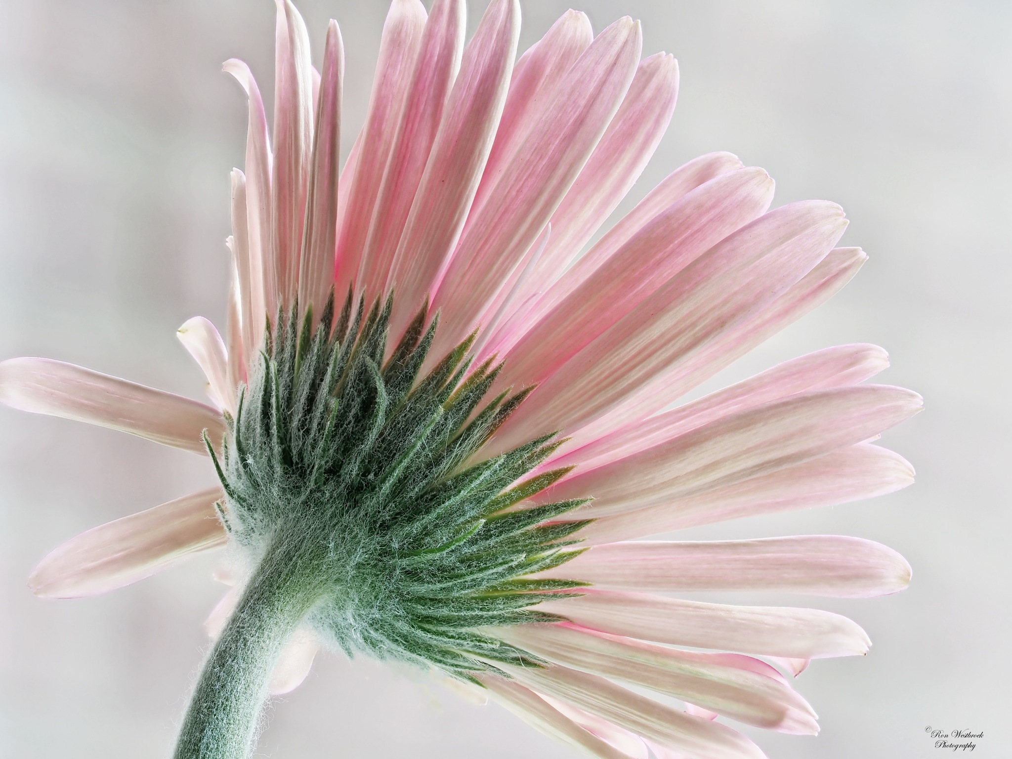 Back of a Gerbera by Ron Westbroek
