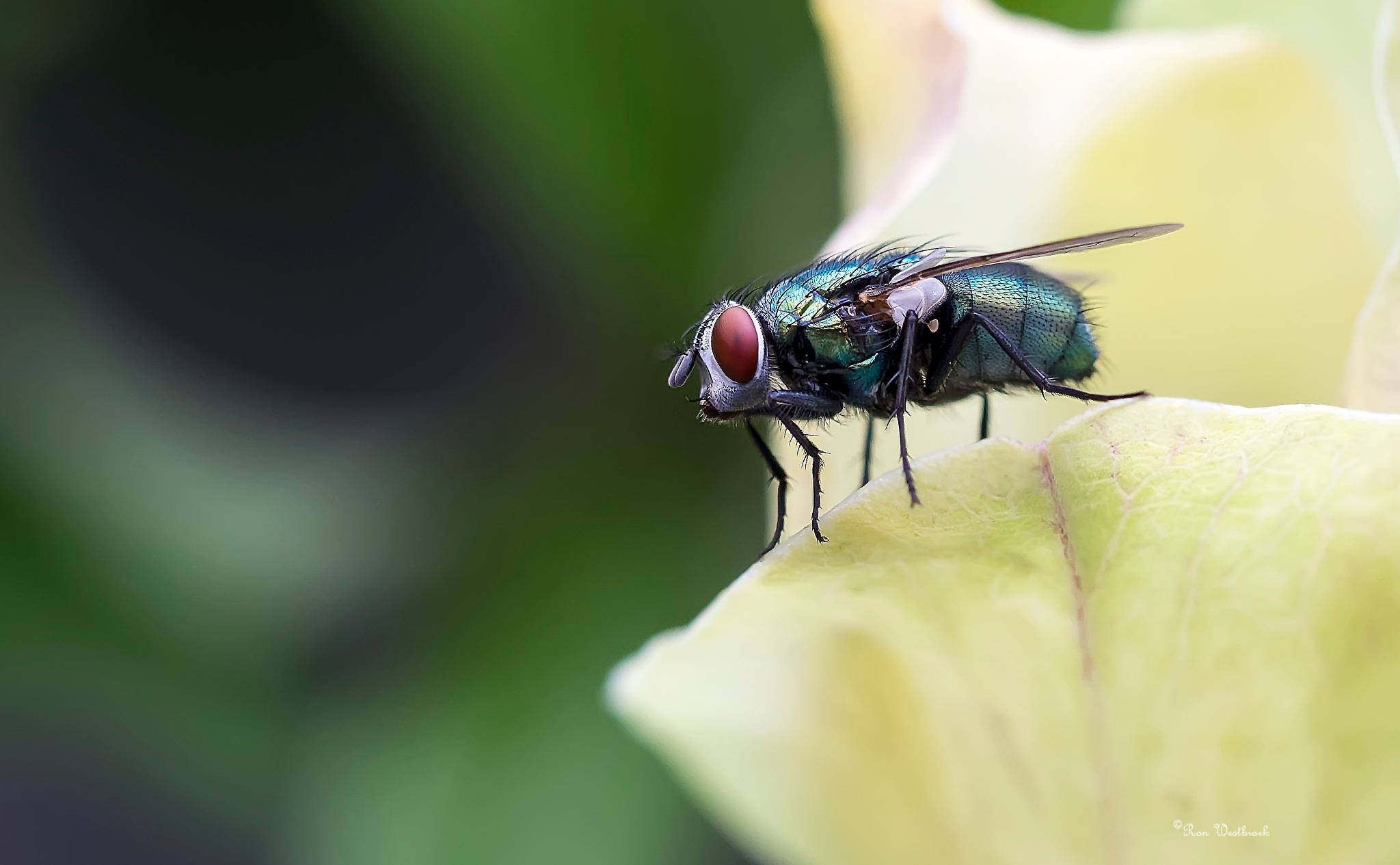 Common green bottle fly  by Ron Westbroek