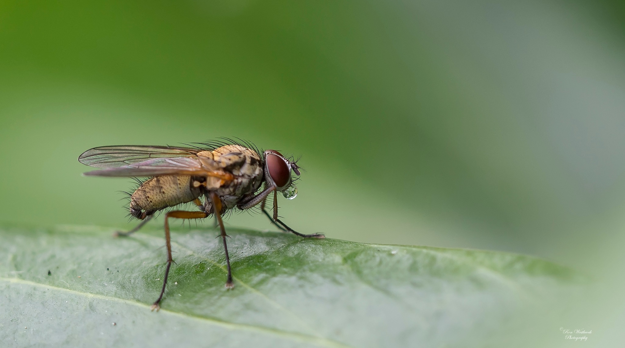 Dung fly by Ron Westbroek