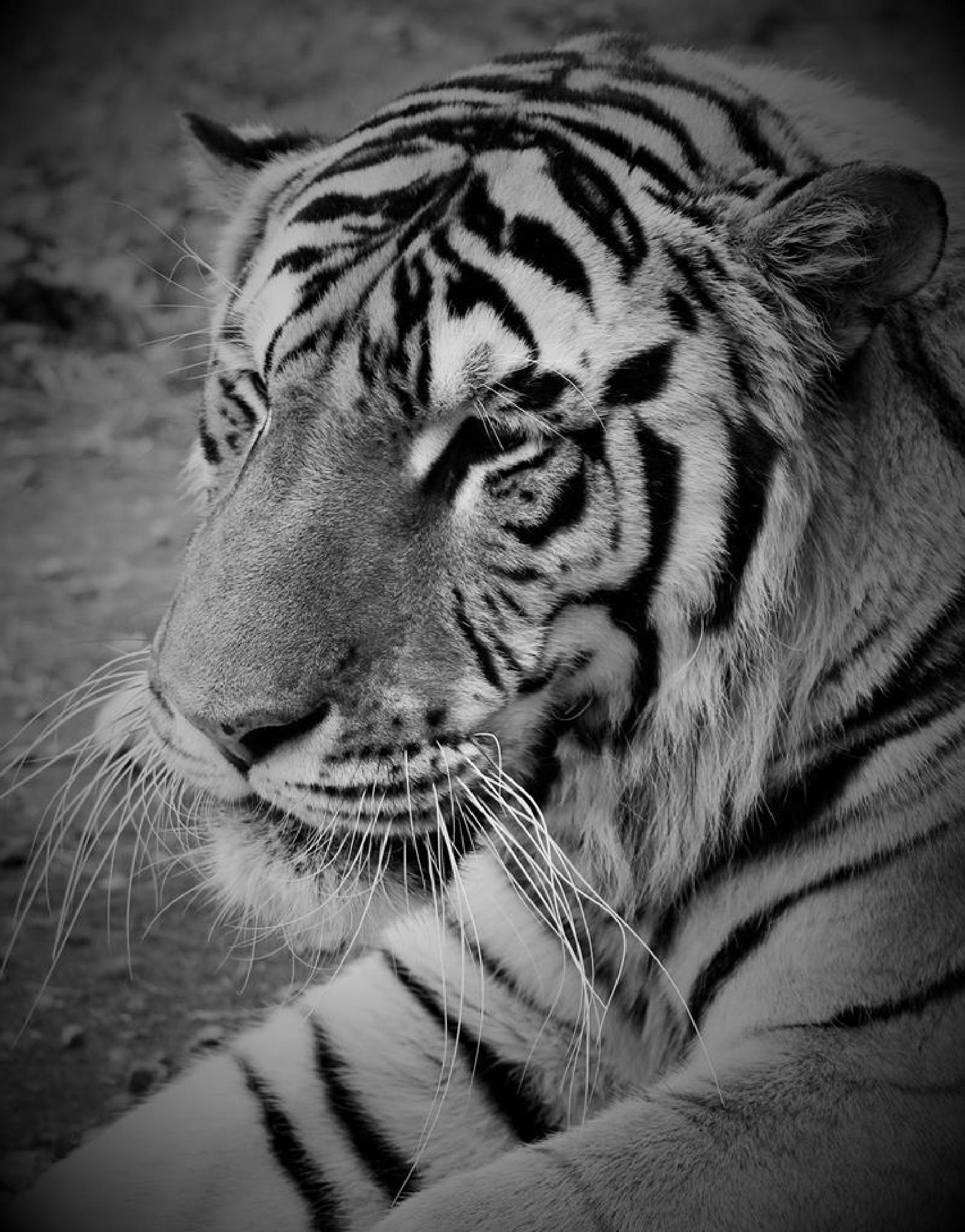 Sleepy Tiger by alamaude