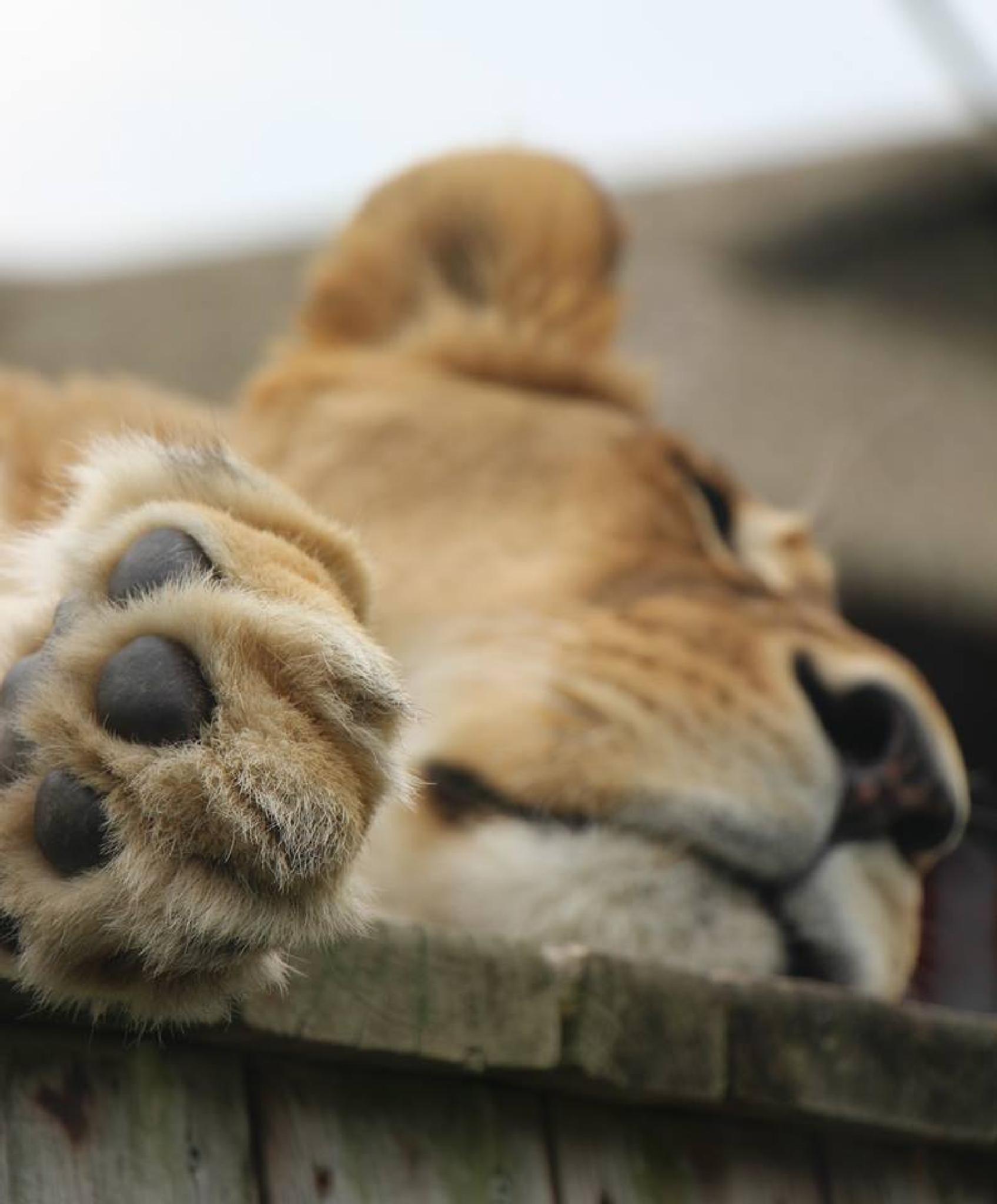 Sleep Mrs Lion by alamaude