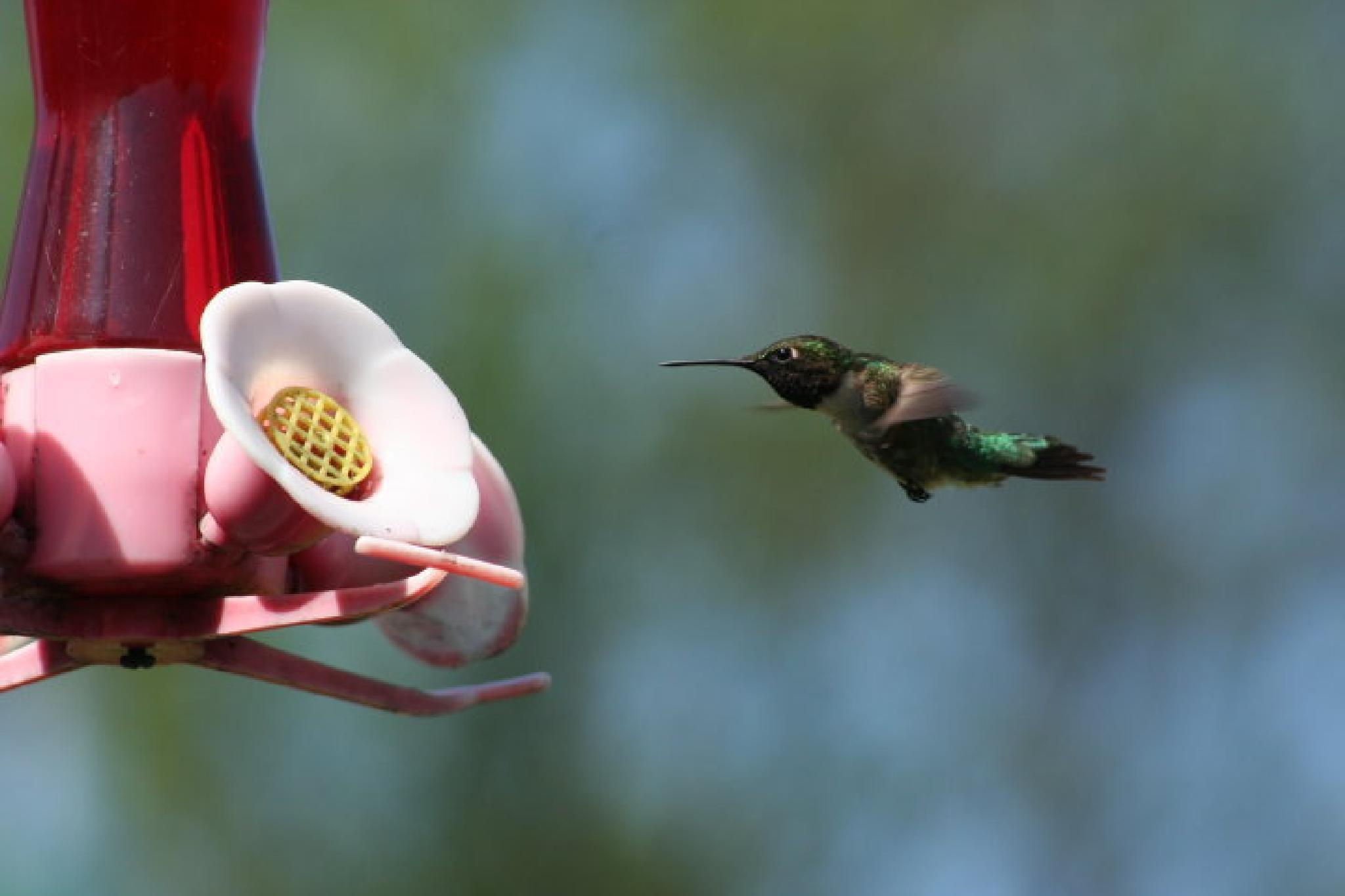 Feeding Hummingbard by alamaude