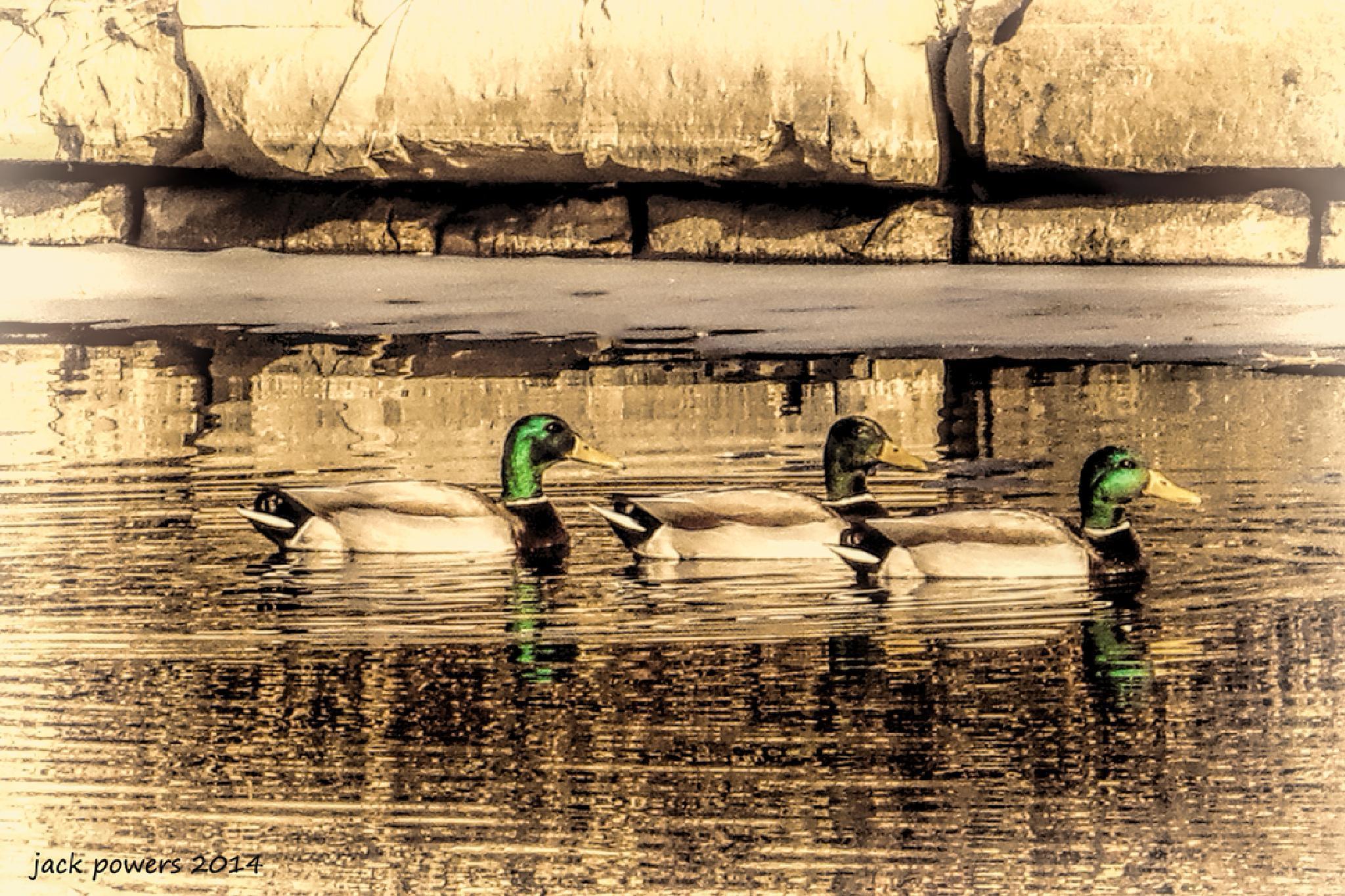 Ducks by jpowersrrt
