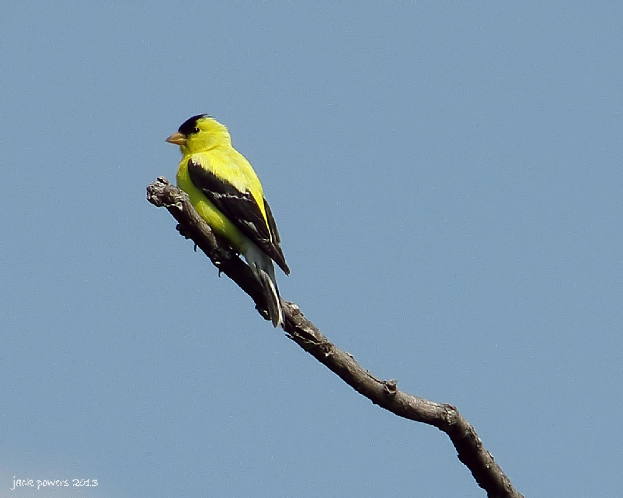 Photo in Animal #american goldfinch #goldfinch #bird #wichita #kansas
