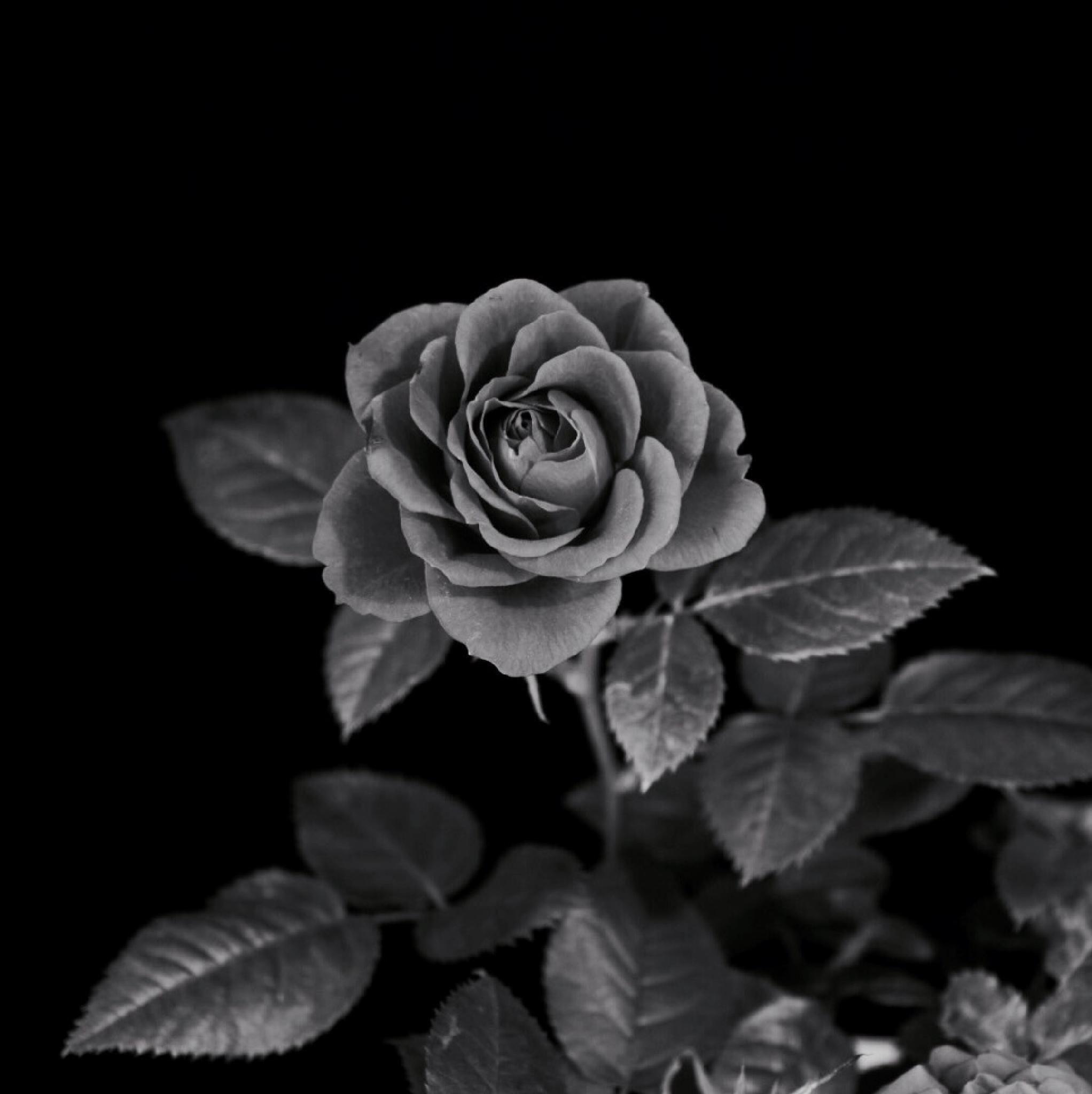 B&W Rose by rick.moss.654