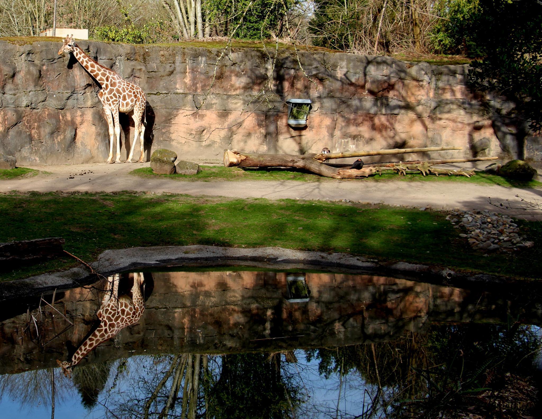 Giraffe Reflection by Mimipics